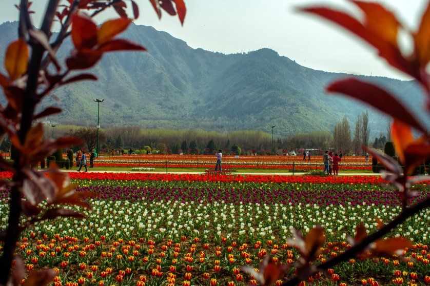 Tulip flowers are in full bloom in Siraj Bagh, on March 29, 2016 in Srinagar, the summer capital of Kashmir, India.