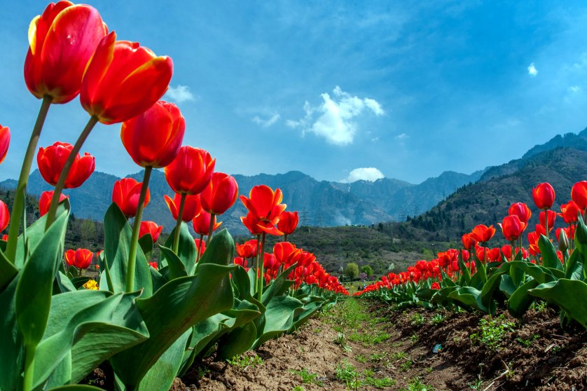 More than two million tulips are expected to bloom at the garden this spring.