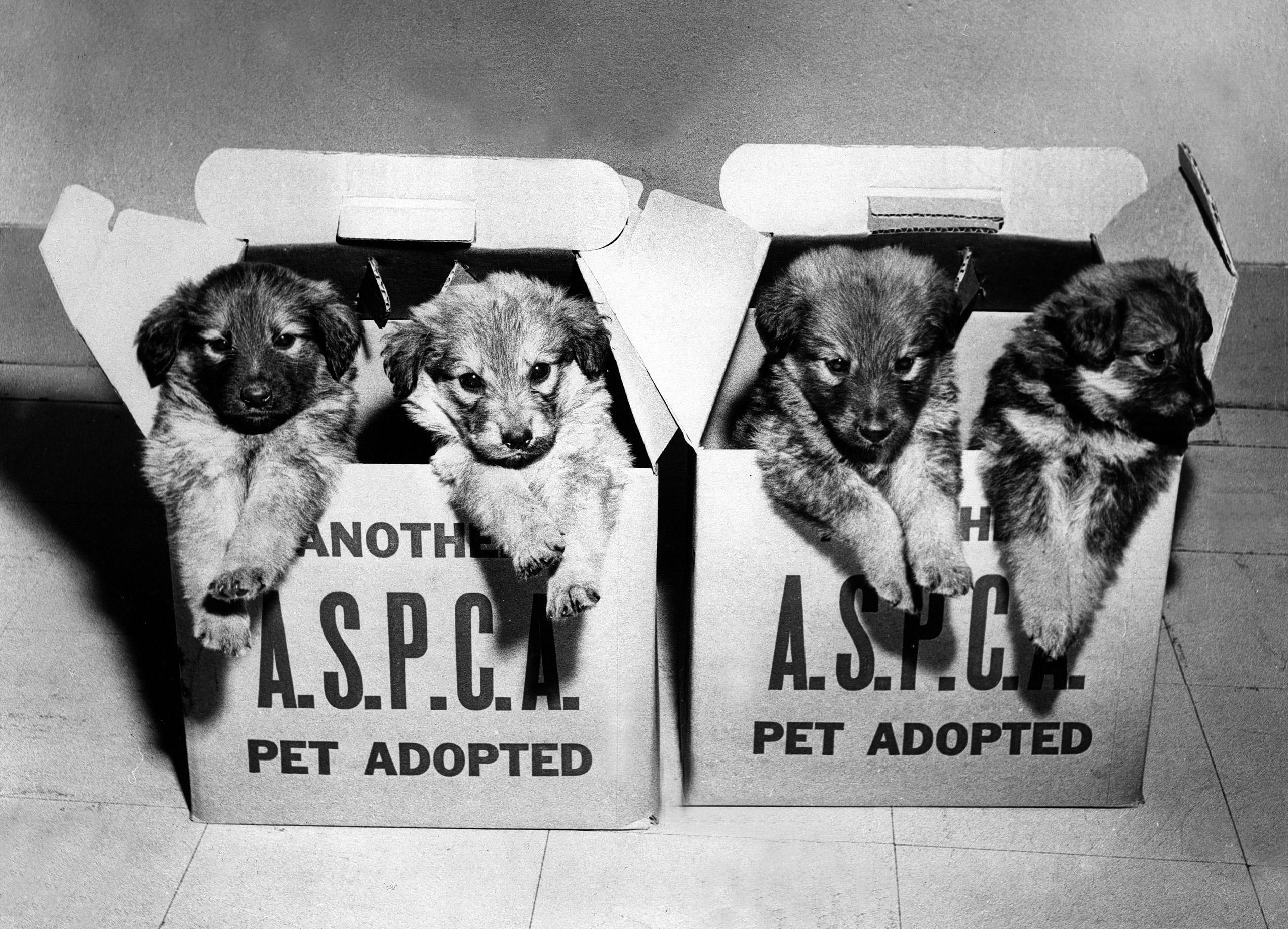 ASPCA rescue puppies in cardboard pet transport boxes, 1970s.
