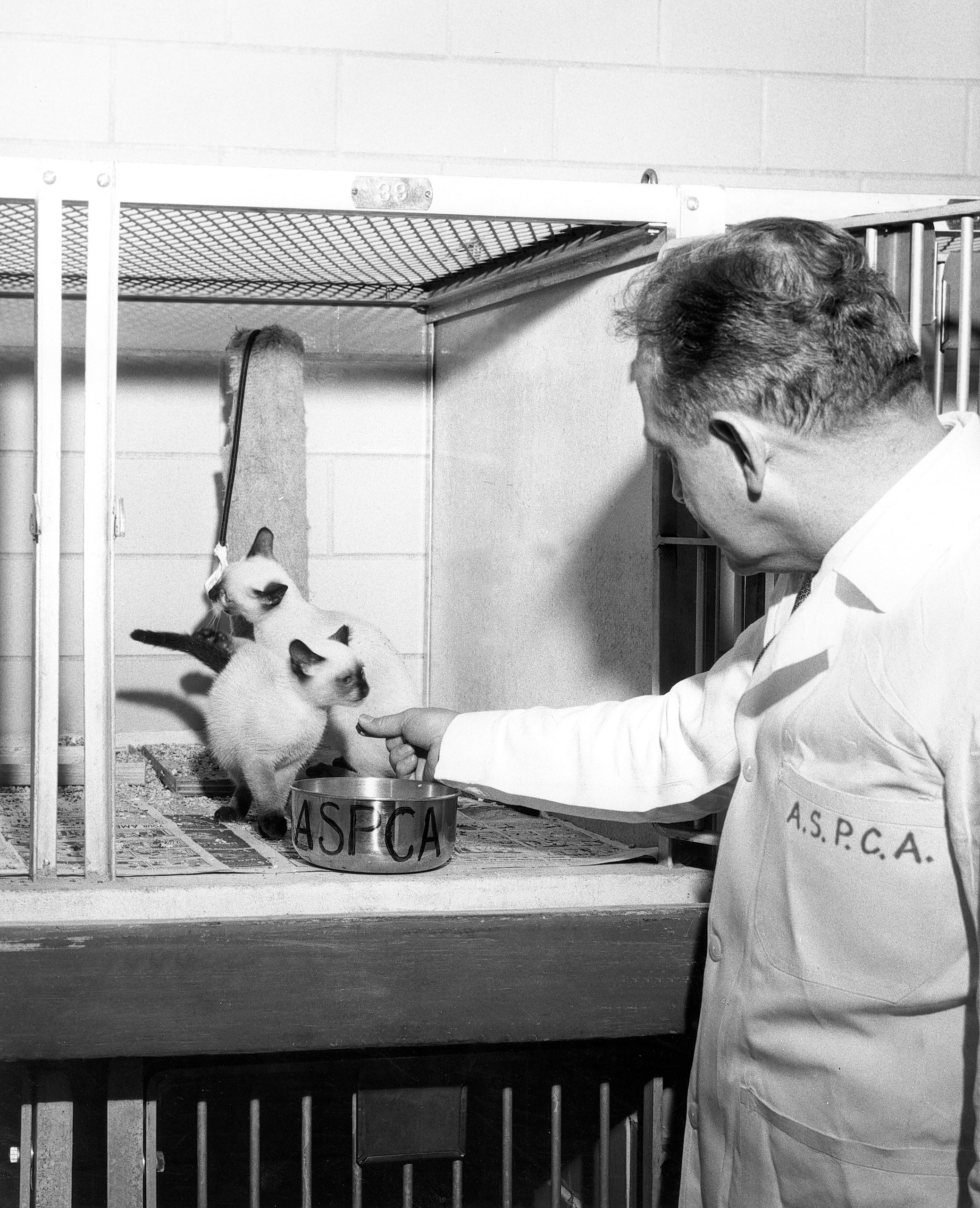 ASPCA shelter attendant caring for adoptable kittens at ASPCA Animal Hospital in NYC, 1950s.