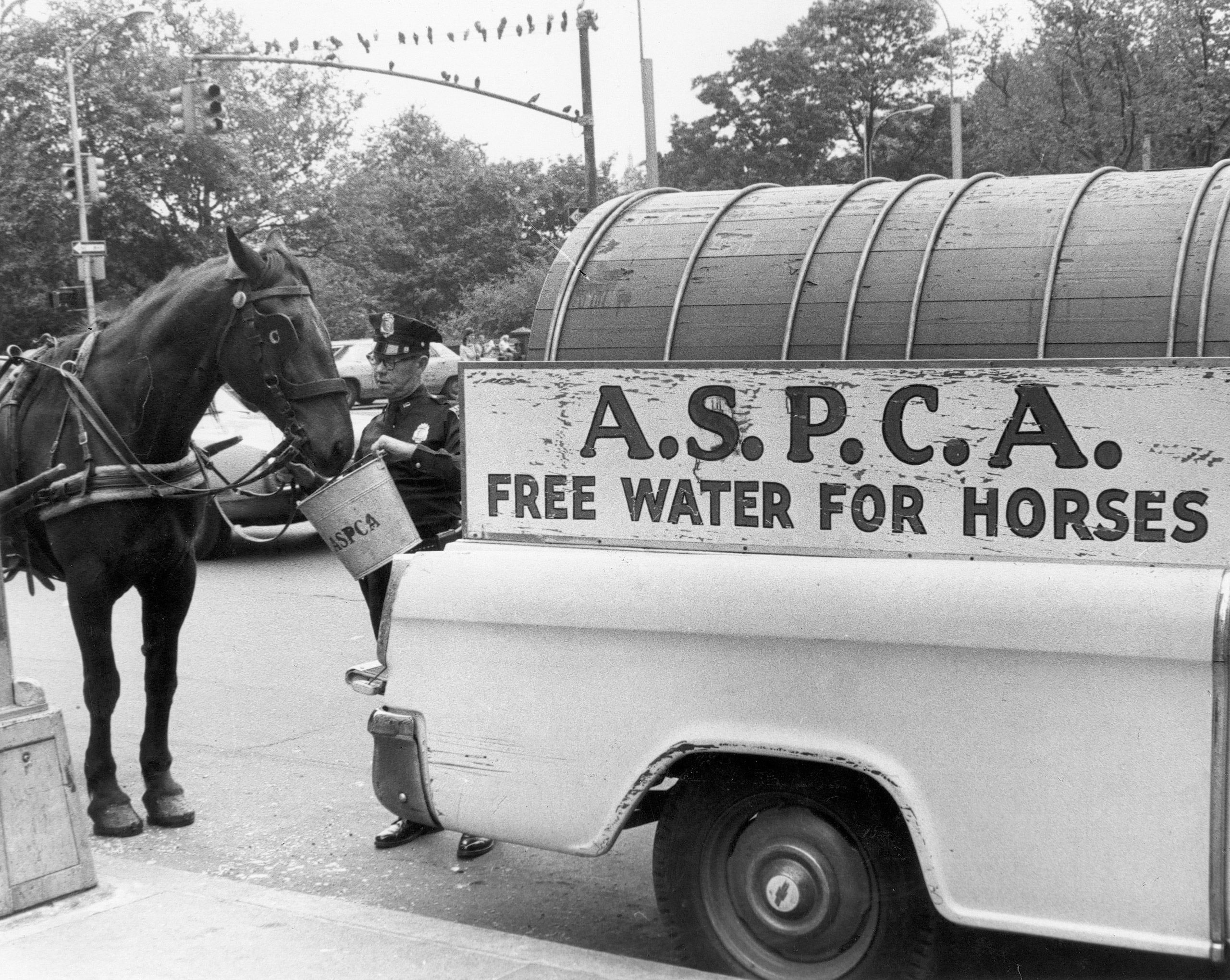 ASPCA horse watering service vehicle and agent provide a drink to a thirsty horse in NYC, 1960s.