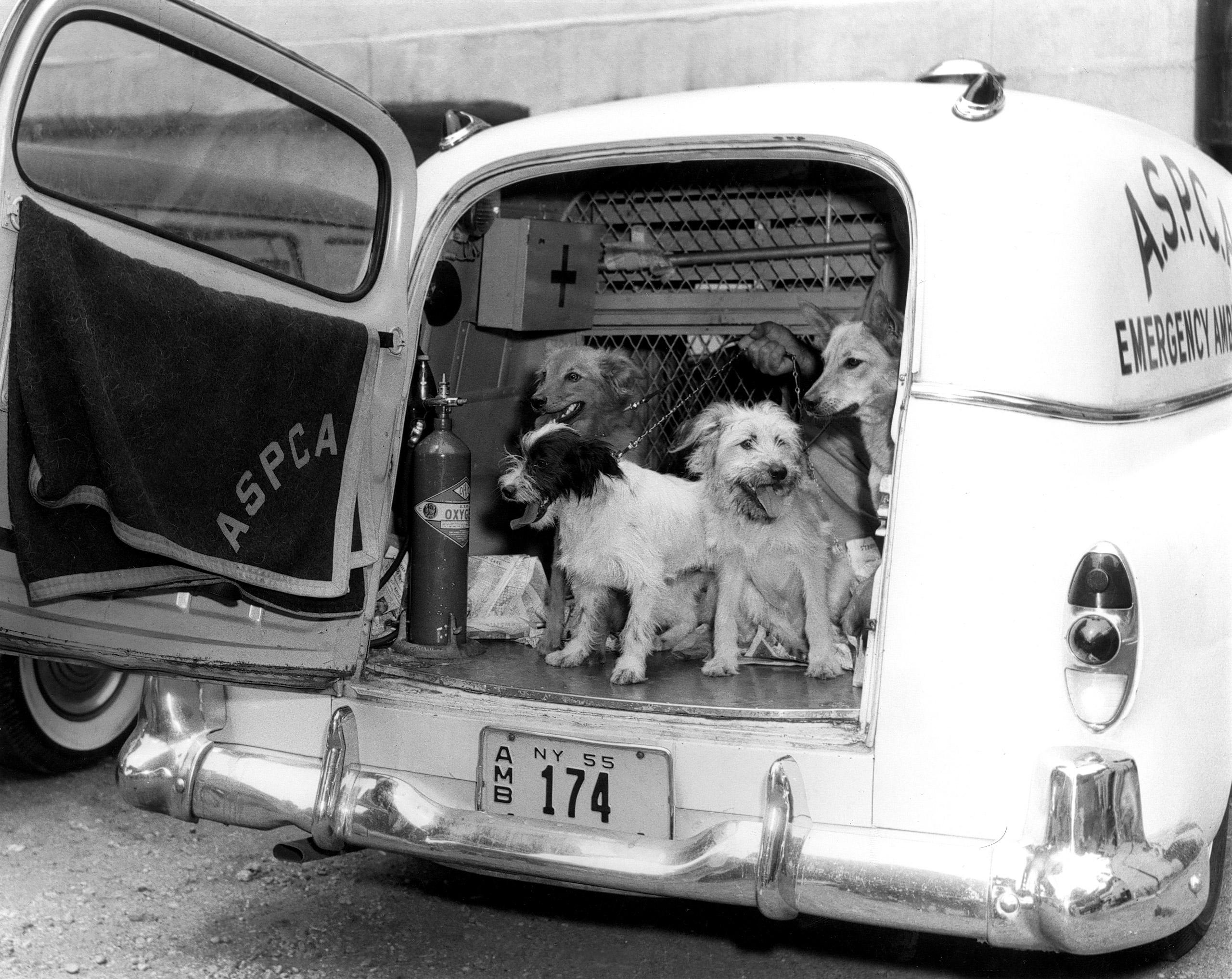 Dogs in ASPCA rescue vehicle, 1955.