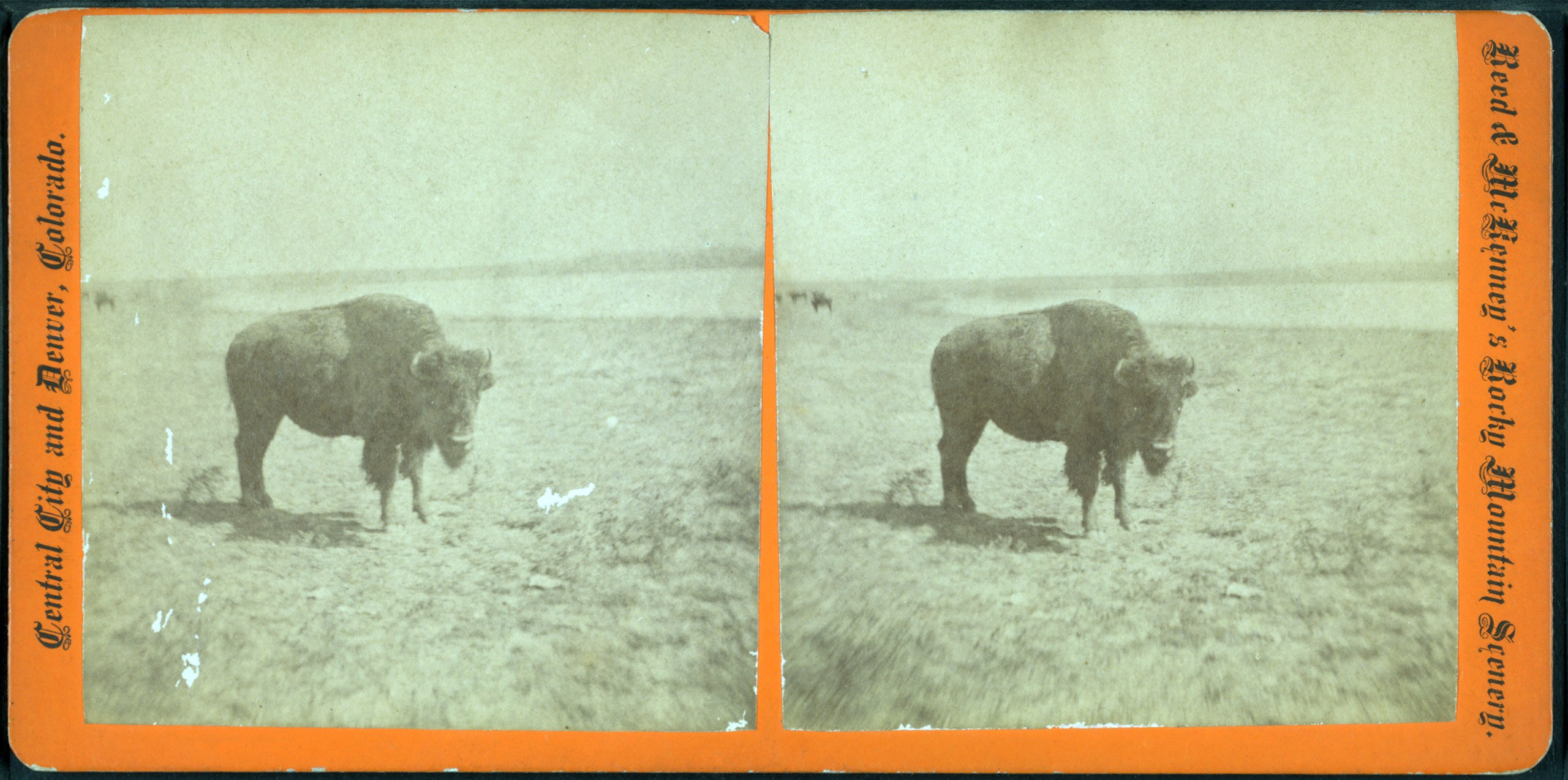 Stereoscopic view of a Bison. Circa 1875.