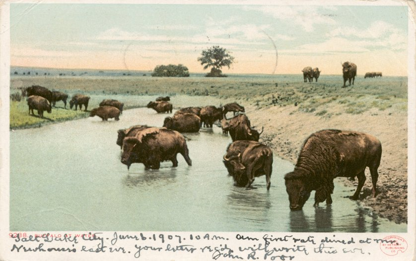 A postcard illustrating Bison at water. Circa 1898-1931.