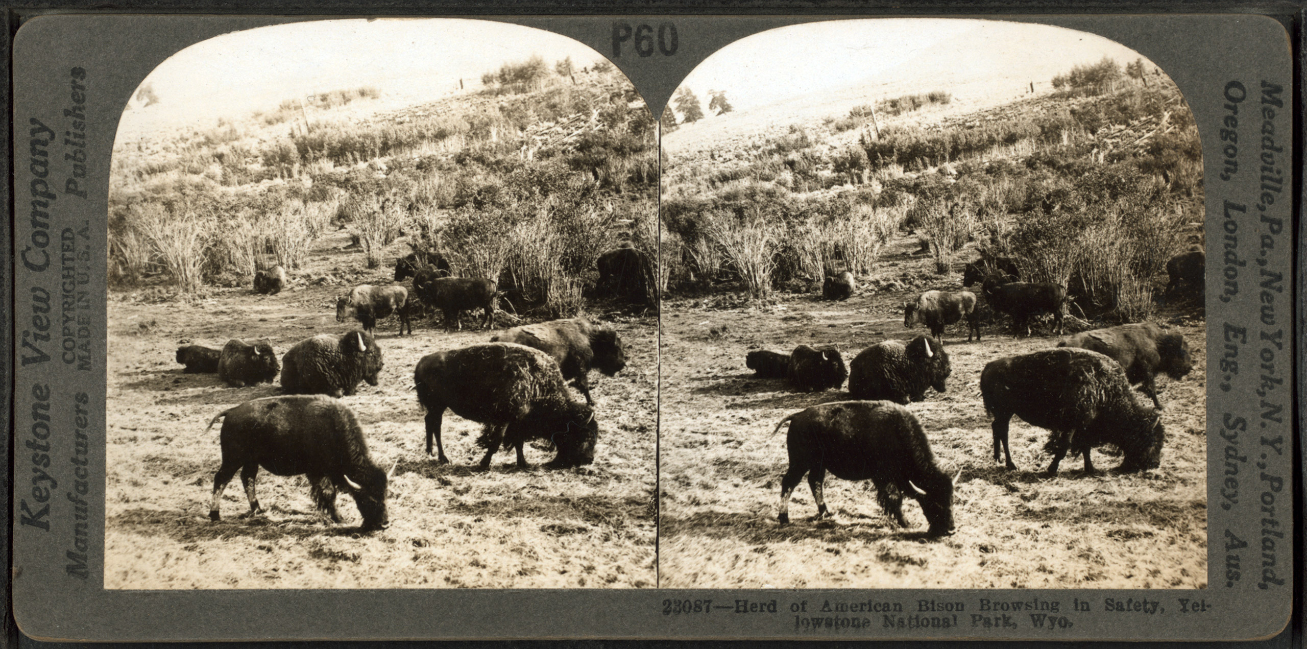 Herd of American Bison, browsing in safety, Yellowstone National Park, Wyoming. Circa 1895-1920.