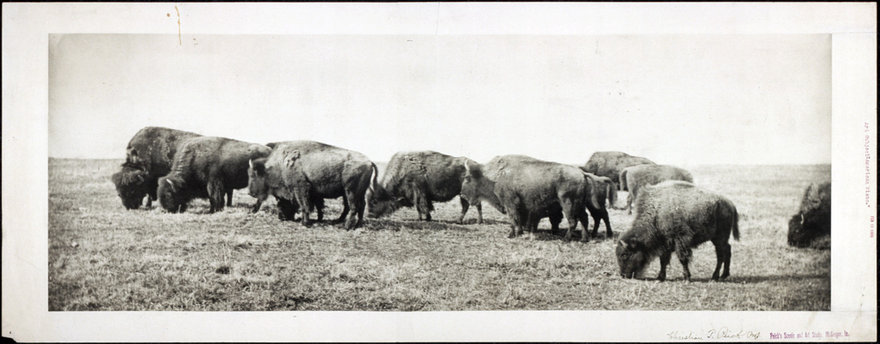 American bison, circa 1906.