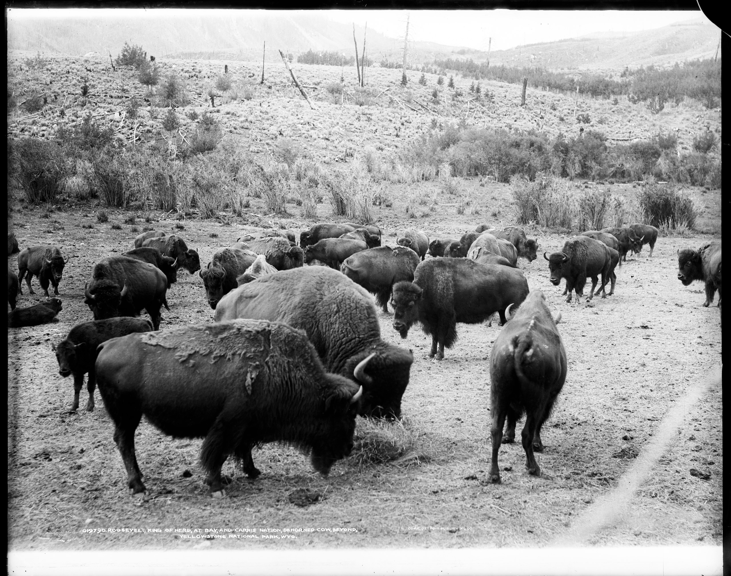 Bison in the Yellowstone National Park, Wyoming. Circa 1907.