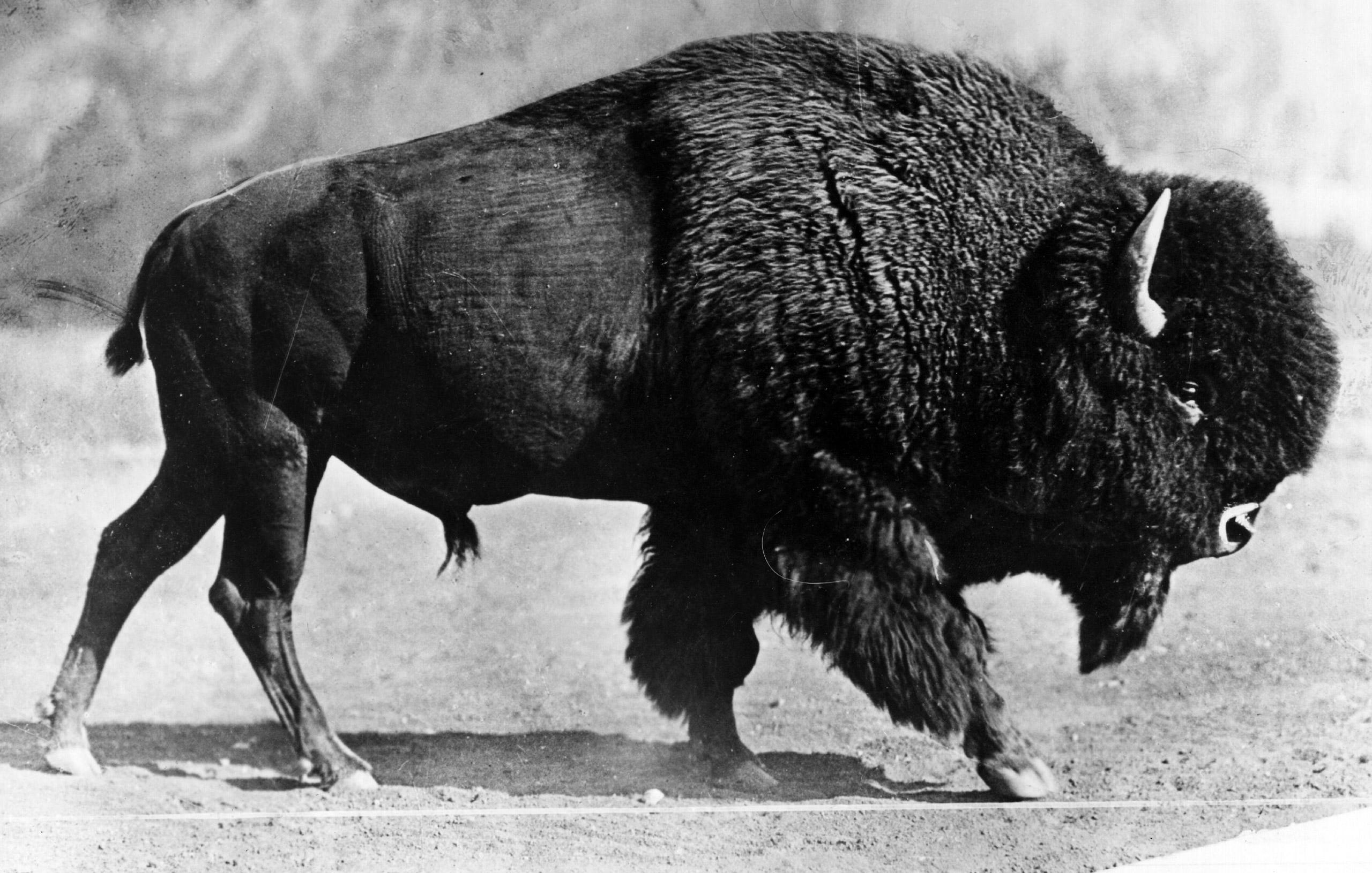 An American bison, circa 1930.