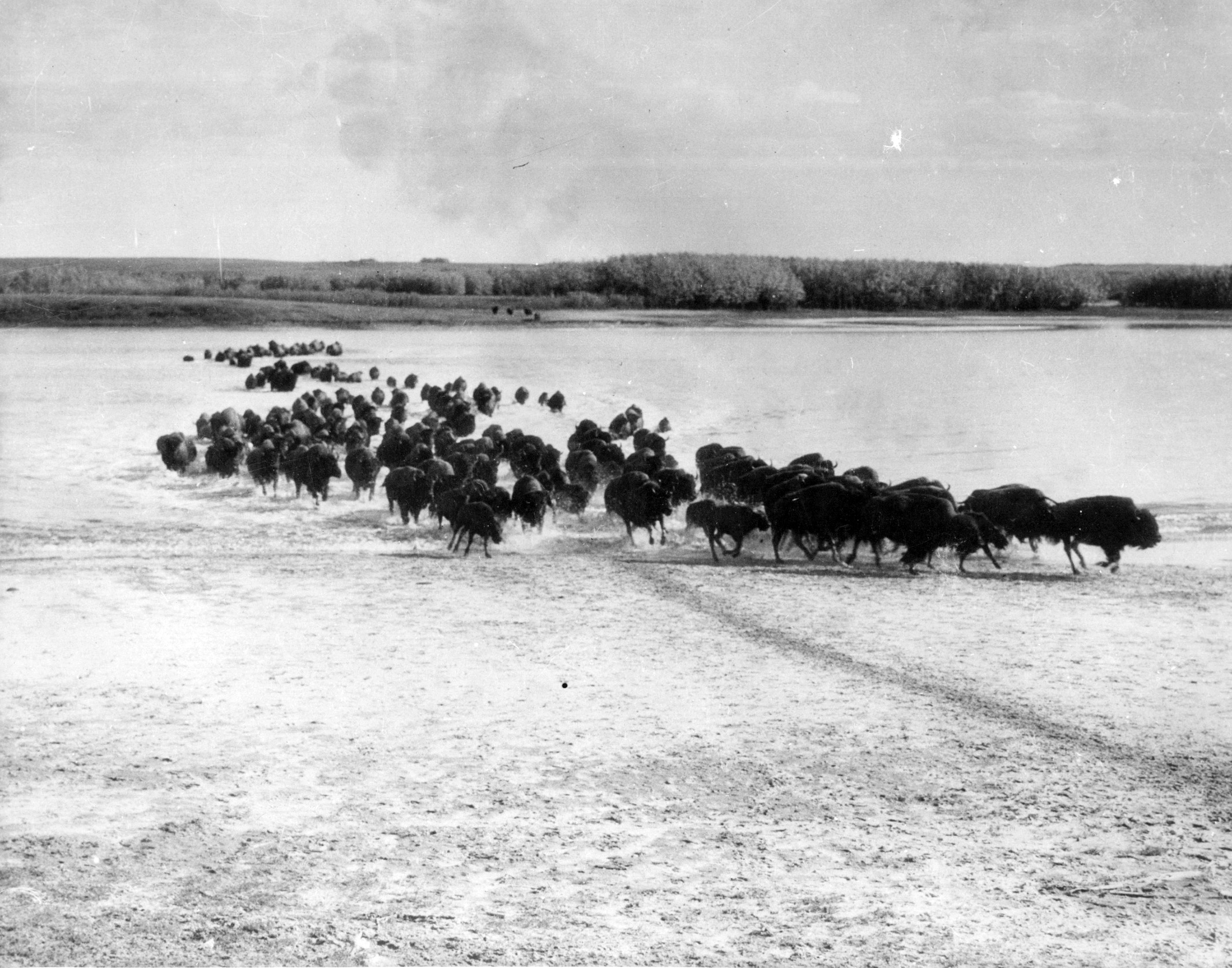 A herd of bison migrating south from Yukon. Circa 1930.