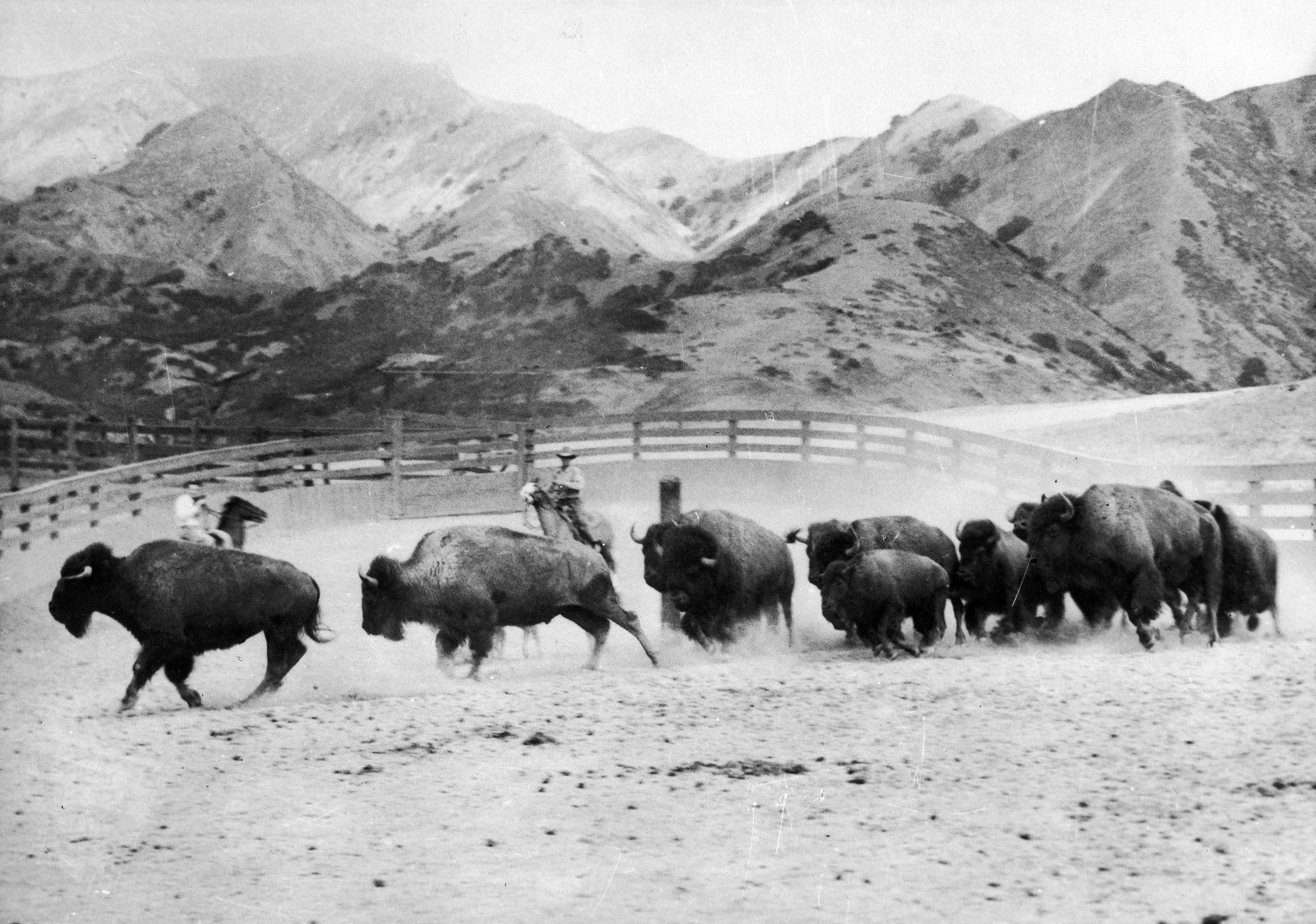 Bison herd in Arizona. 1935.