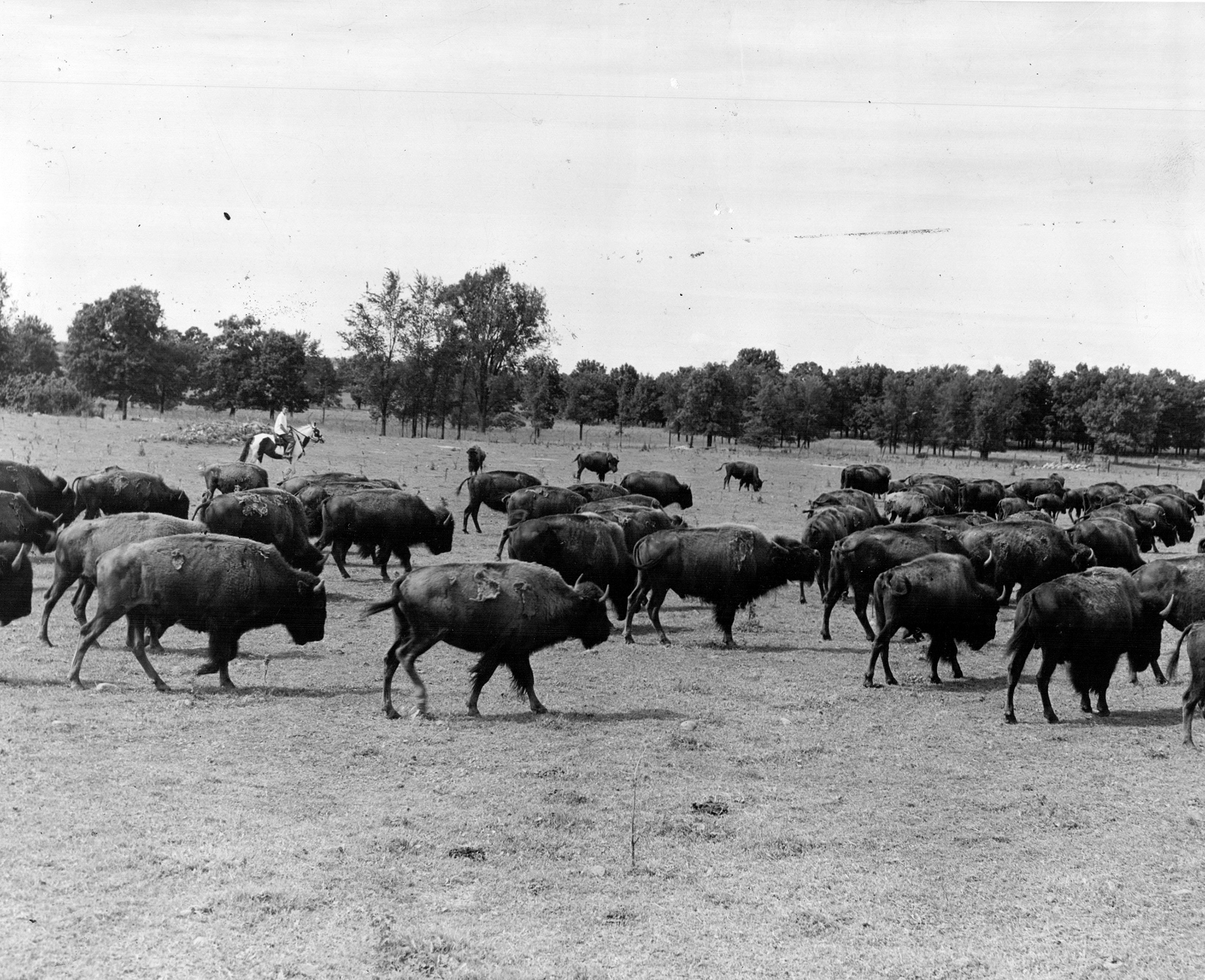 On a ranch in southern Michigan; there are several hundred wild bison snorting and pawing the ground and ready to toss all intruders. 1945.