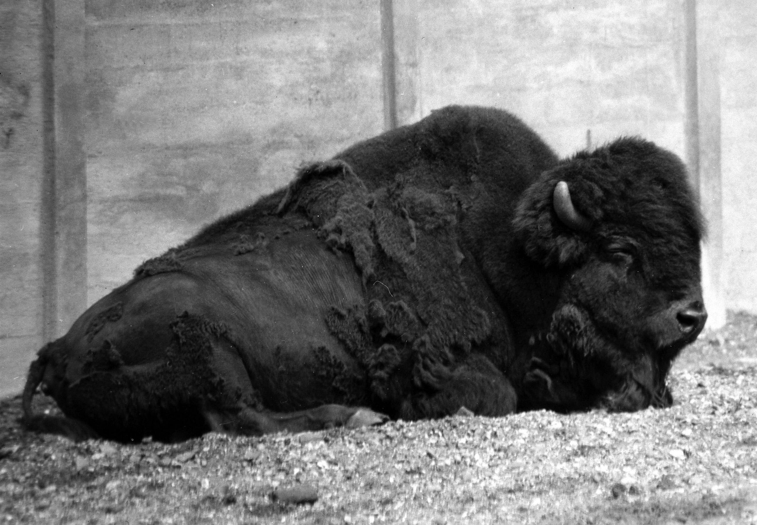 A North American Bison, circa 1950s.