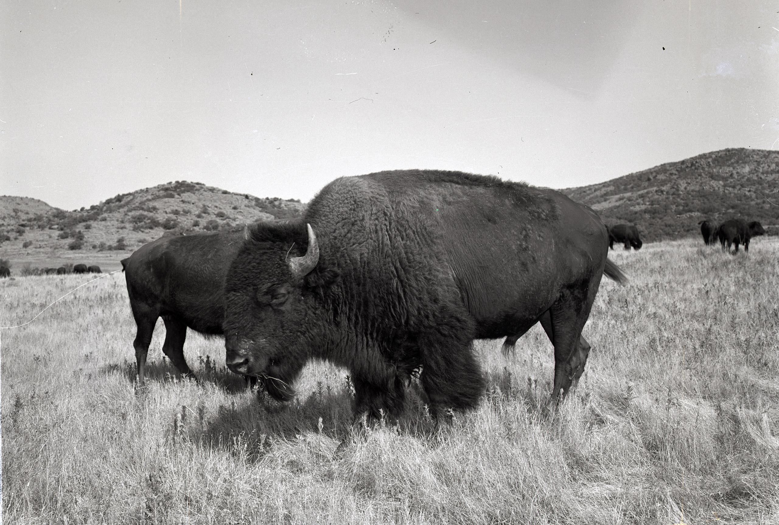 Bison in the Witchita Mountains wildlife refuge. 1952.
