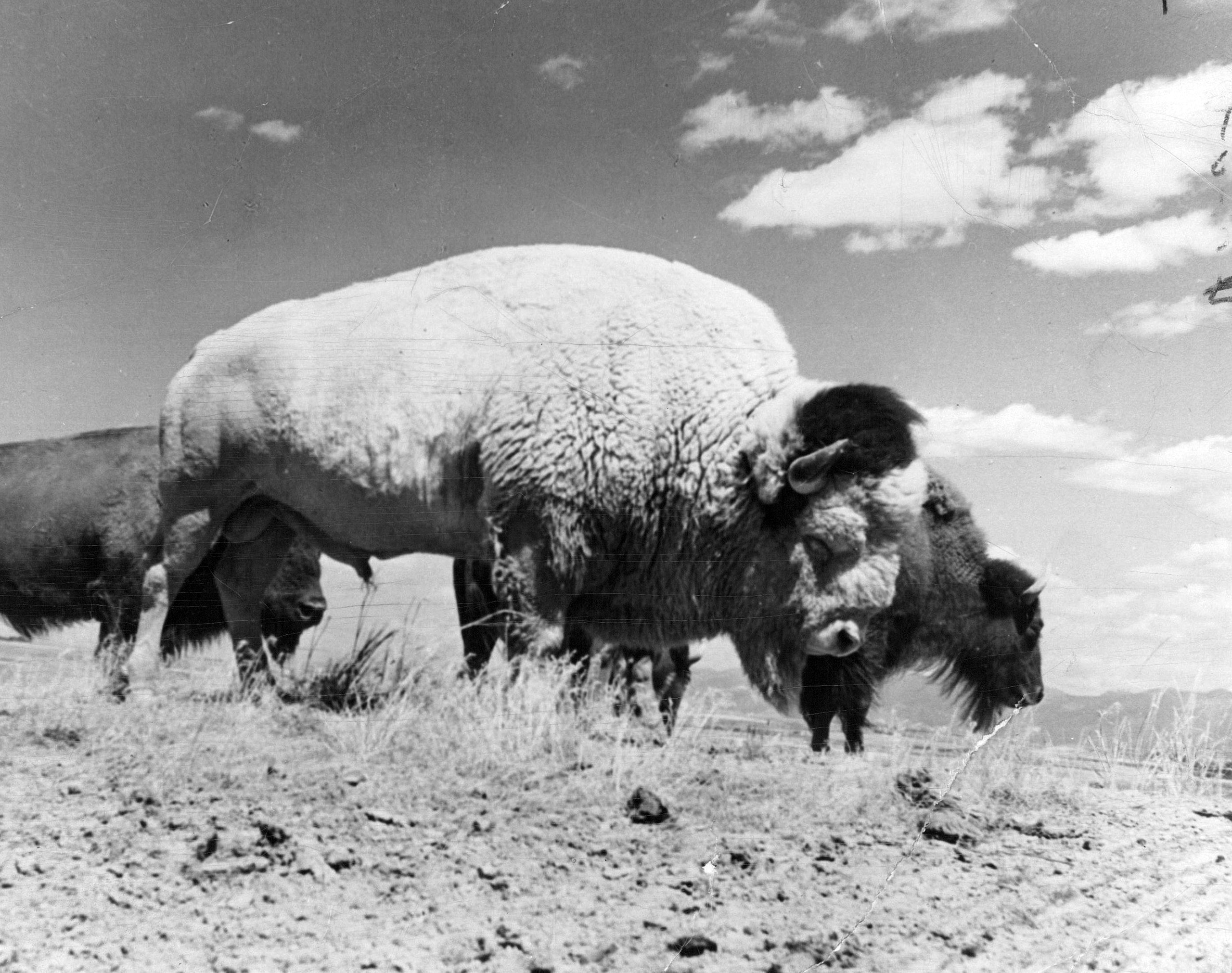 Well into his 20s, this white bull is one of the most photographed animals on the bison range at Moiese, Montana. 1957.
