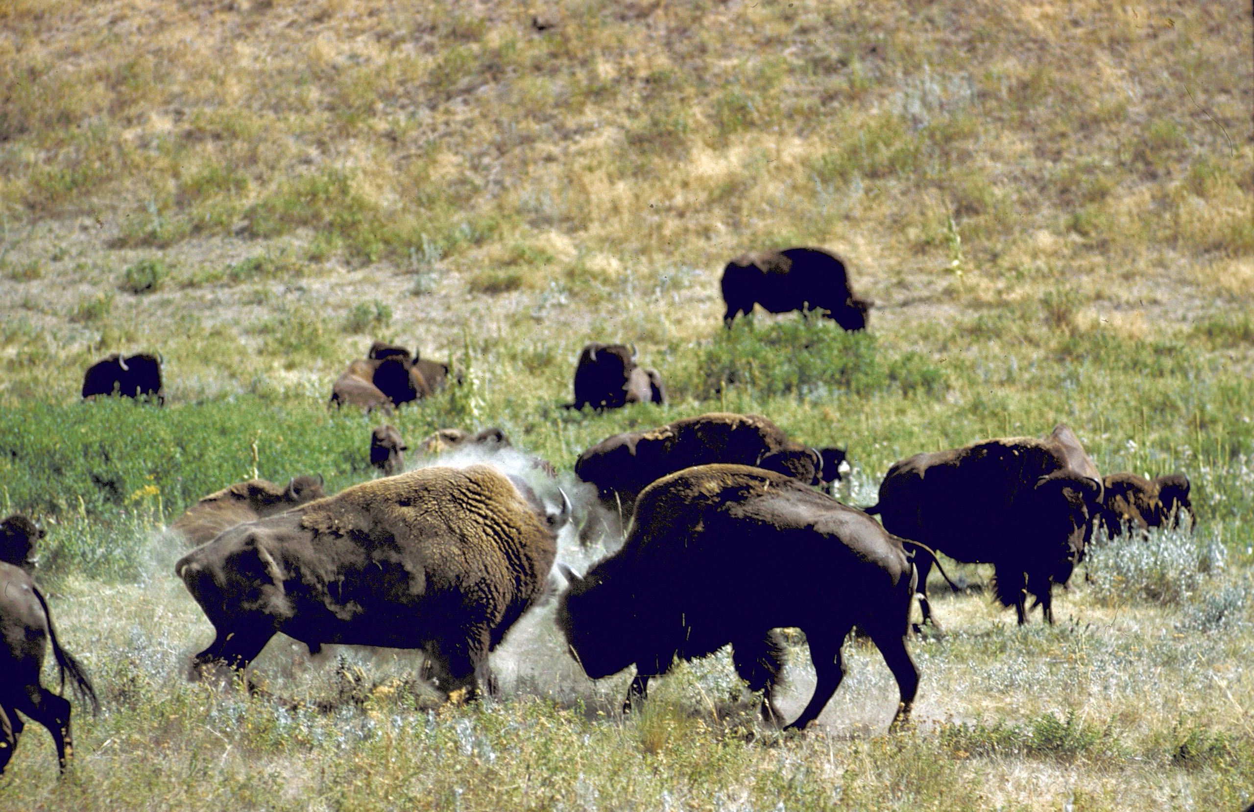 Herd of bison roaming across National Bison Range in Montana. 1961.