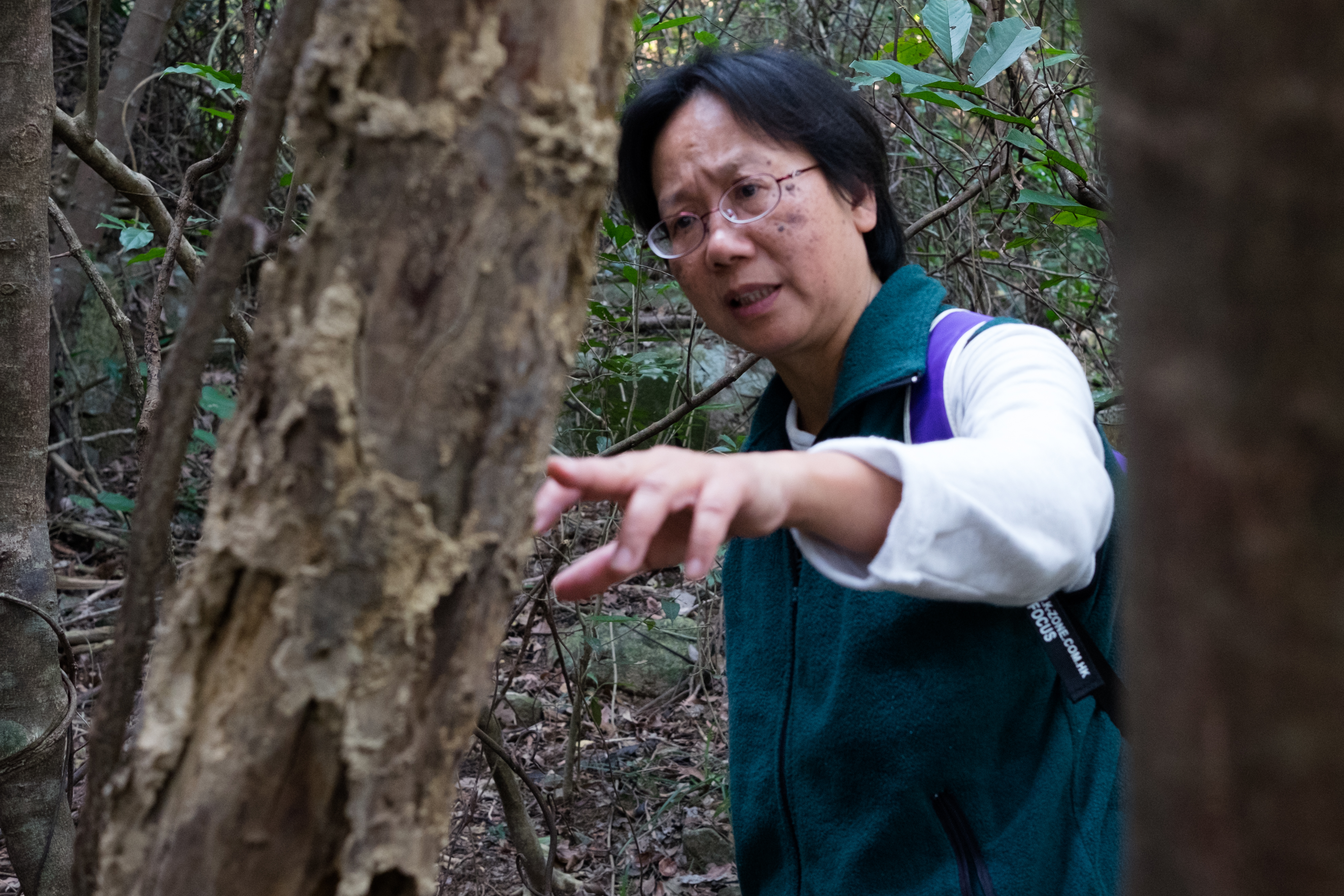 Ho Pui-han inspects an incense tree in Hong Kong's New Territories on March 27, 2016