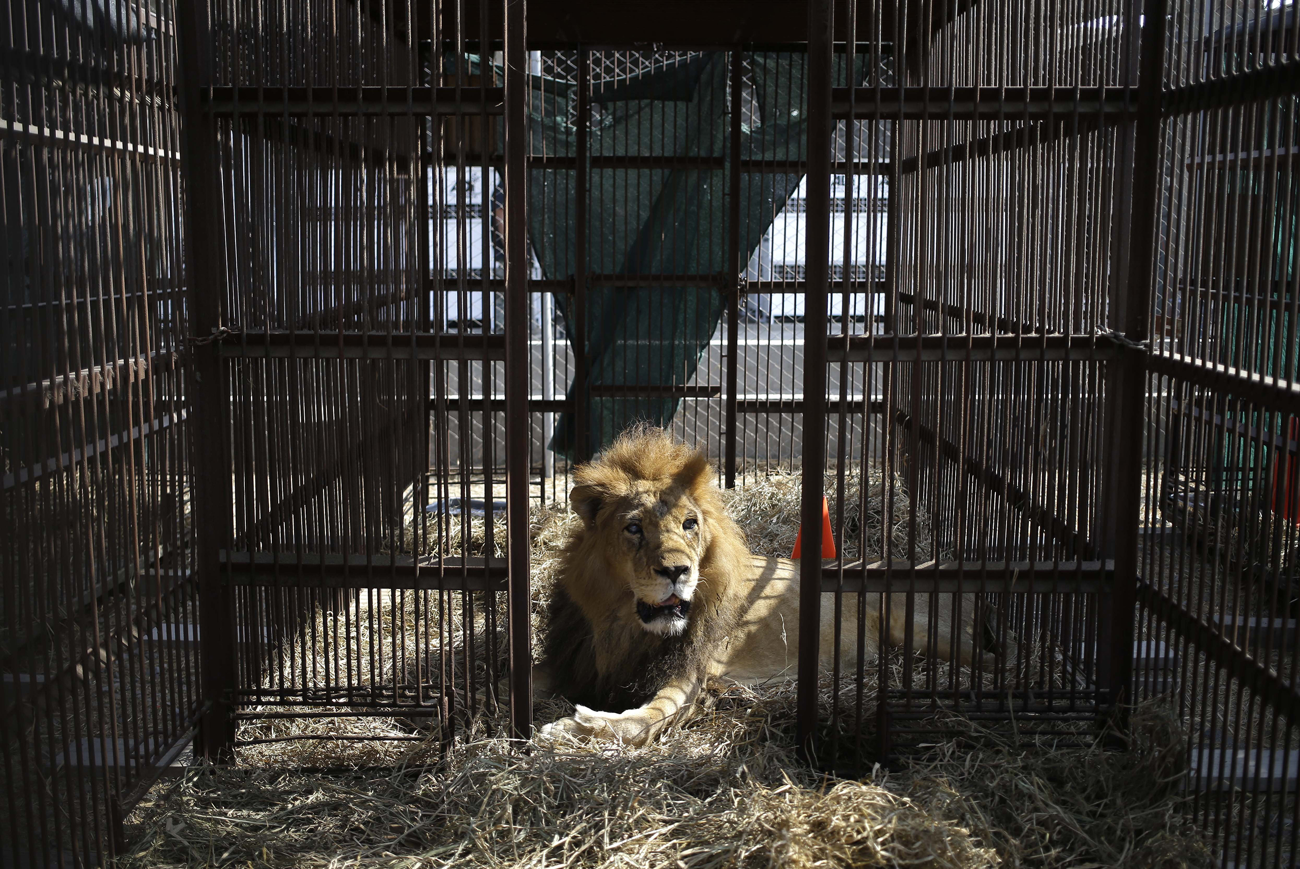 A former circus lion rest inside a cage in the outskirts of Lima, Peru, April 26, 2016.