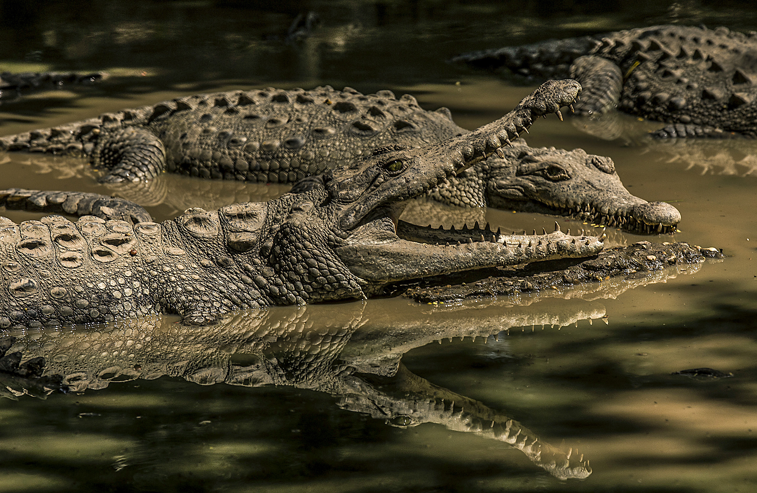 What are you lookin' at? Crocodiles have long had drop-dead eyes.