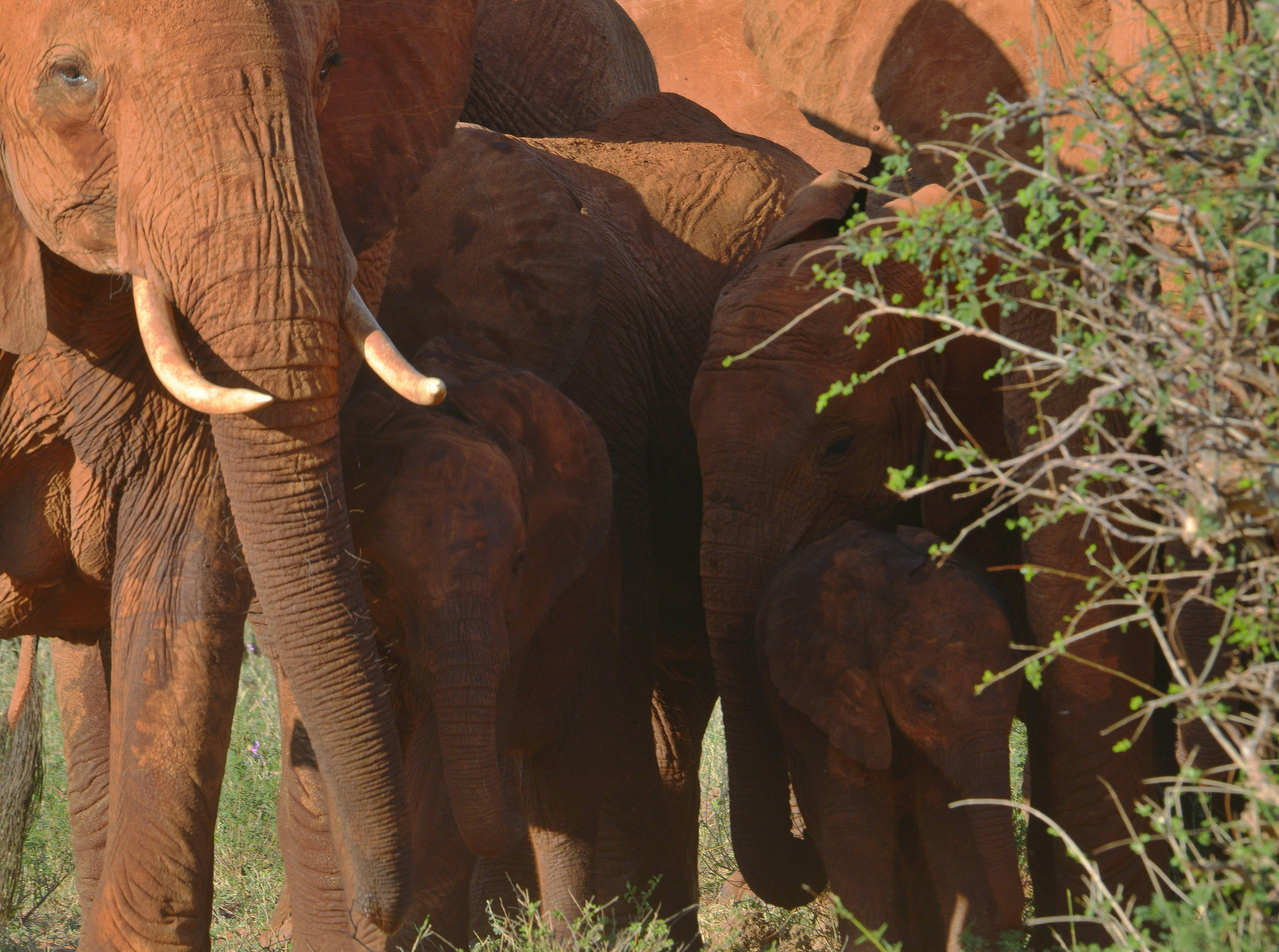 Elephants are pictured on March 15, 2016 at the Tsavo east national park (approximately 337 kilometres south east) of the Kenyan capital, Nairobi.