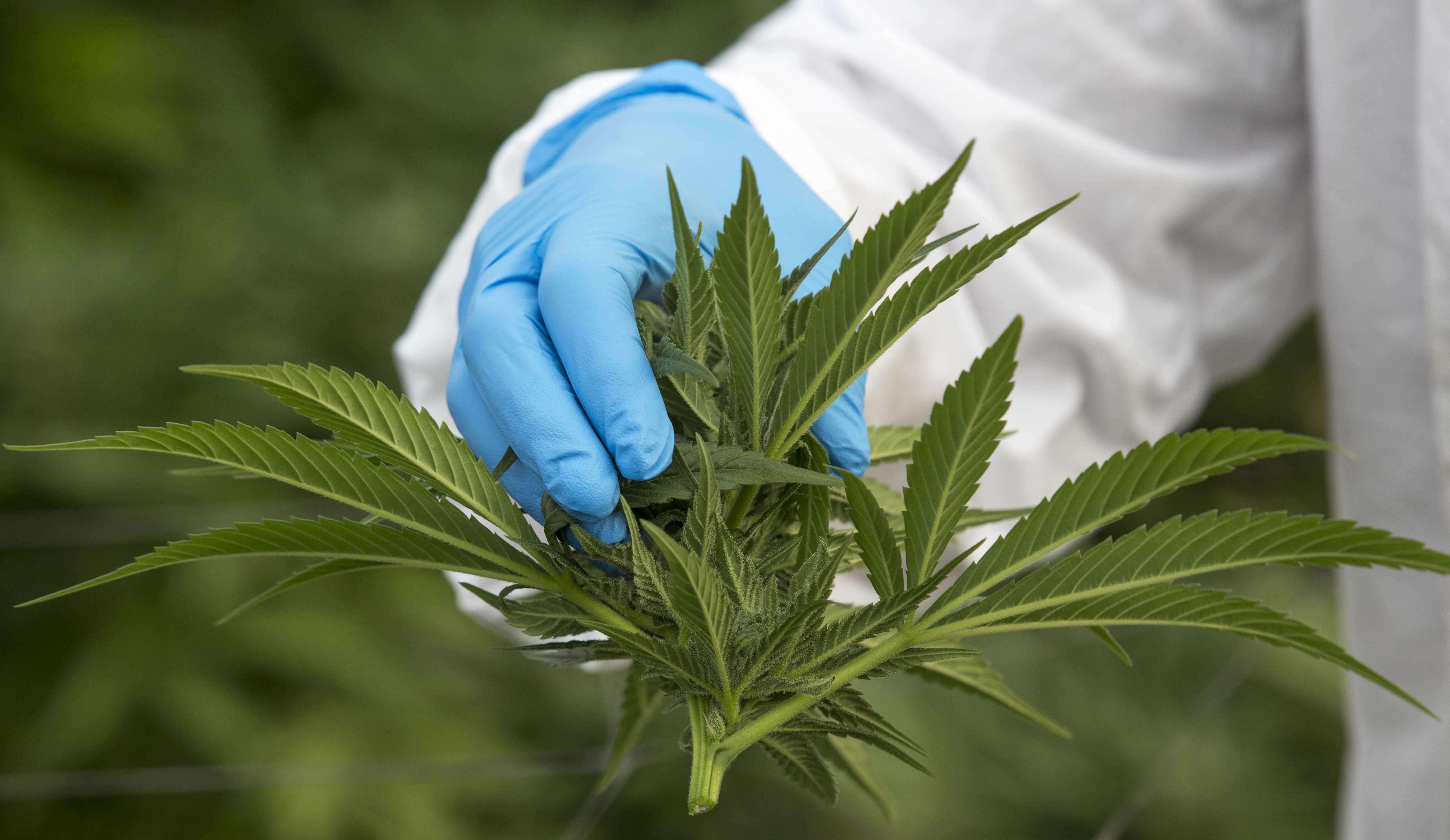 An Israeli woman works on marijuana plants at the BOL (Breath Of Life) Pharma greenhouse in the country's second-largest medical cannabis plantation, near Kfar Pines in northern Israel, on March 9, 2016.
