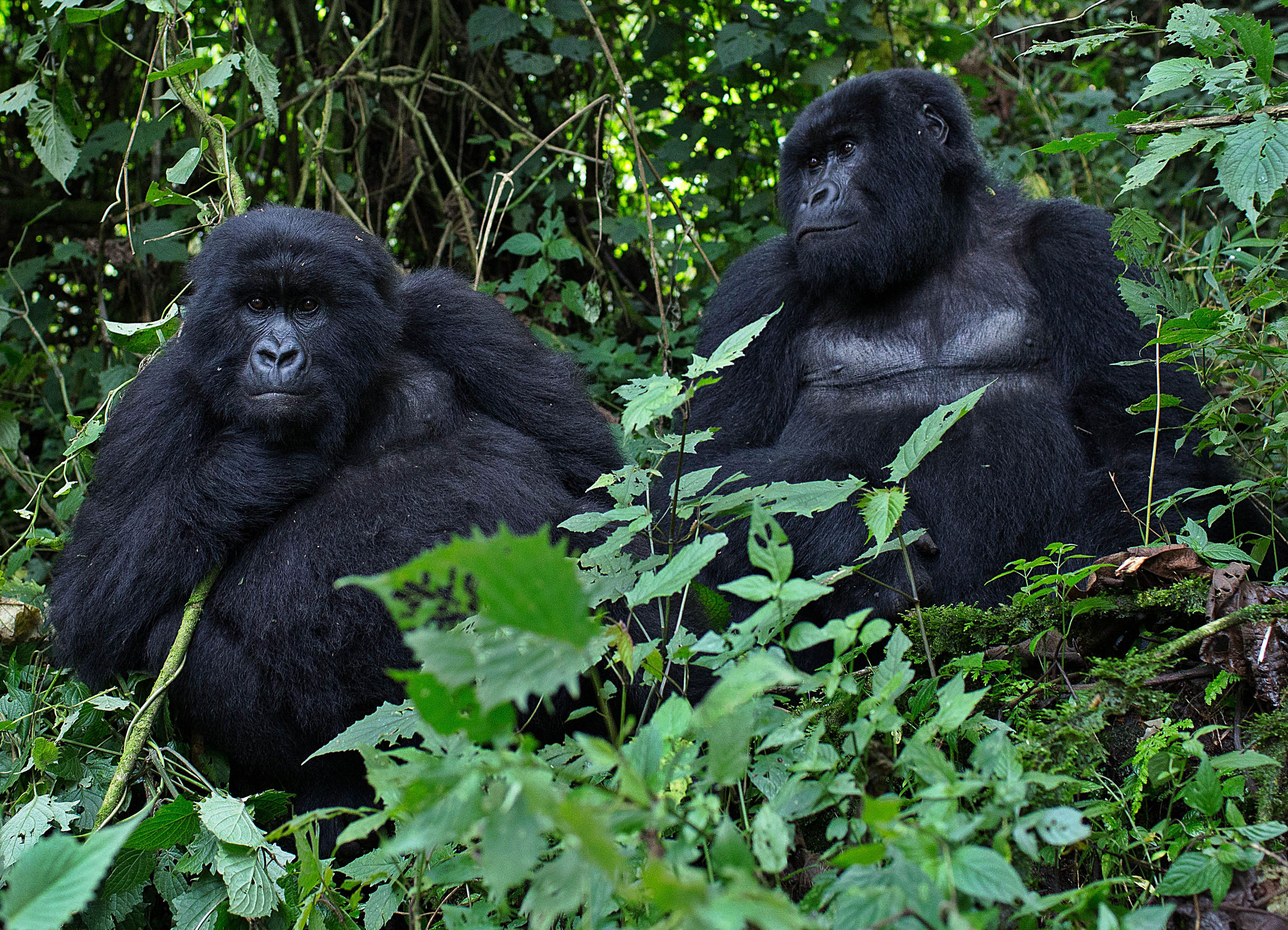 Male mountain Gorillas, members of the Agashya family, are pictured in the Sabyinyo Mountains of Rwanda on December 27, 2014.