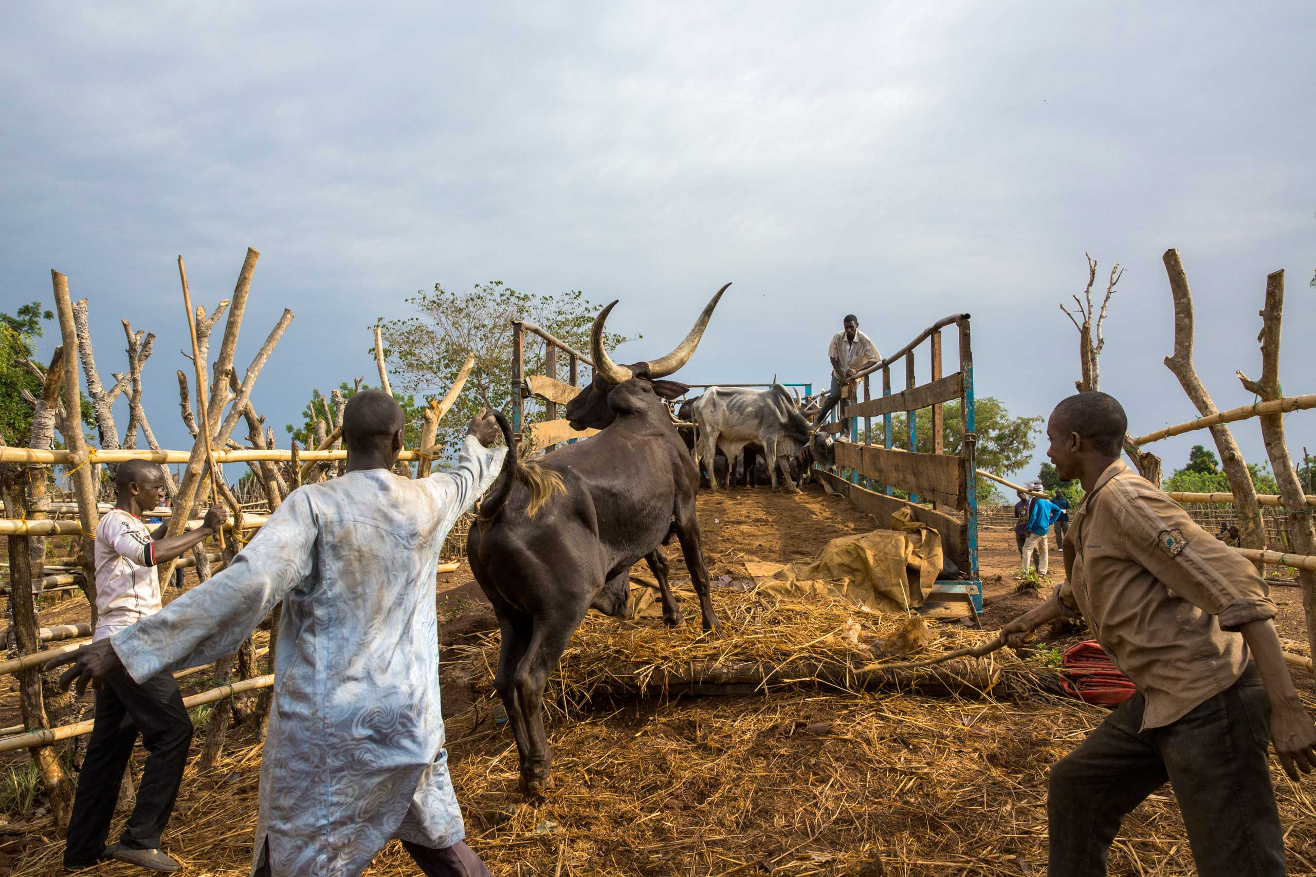 Men are loading a truck with cows in Bambari, Central African Republic. Around 200 to 800 cows are sent to Bangui every week and ex-Seleka leader Ali Daras collects a  tax  of $30 on each cow  to provide security.