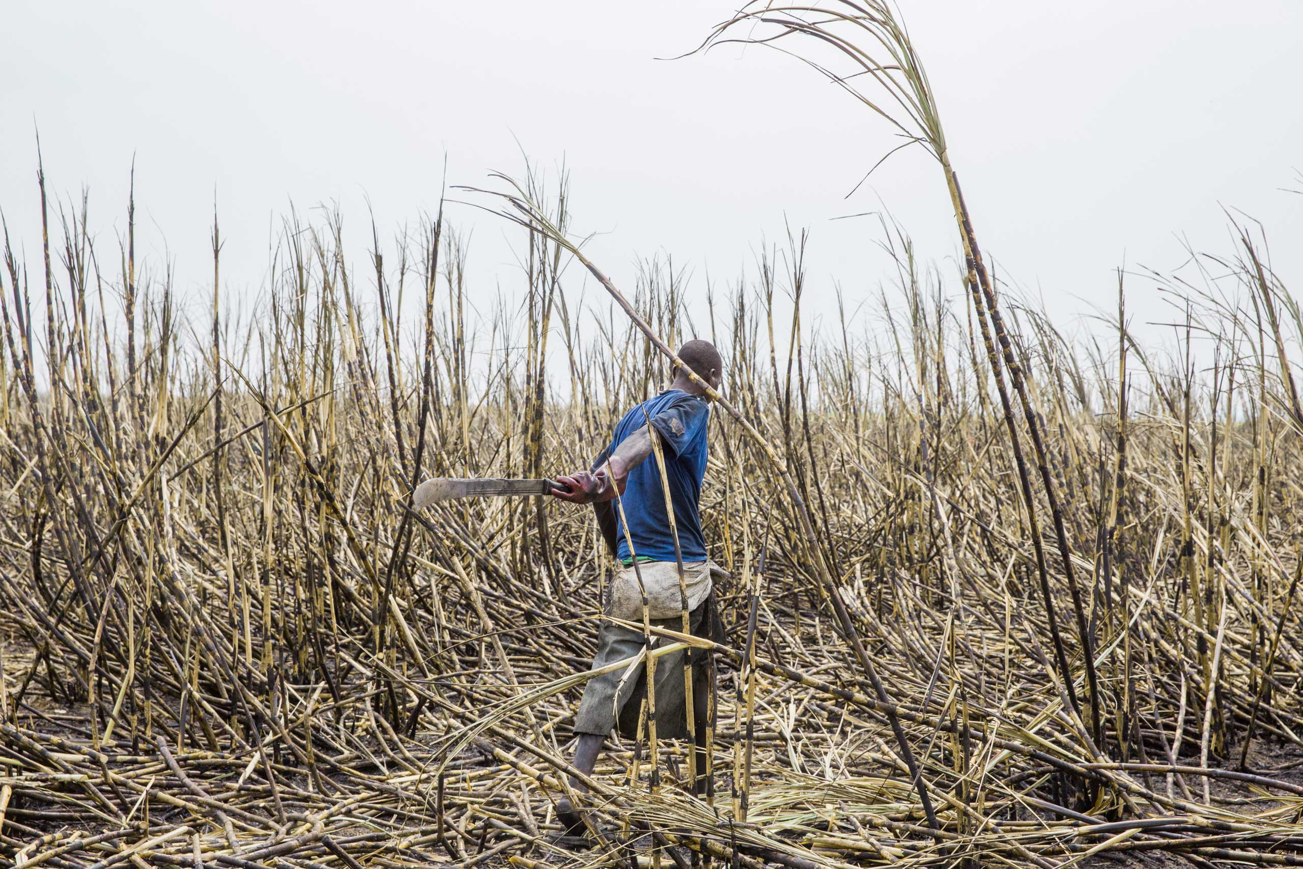 A worker in a cane field in Ngakobo, eastern Central African Republic. The field is owned by SUCAF, one of the last 25 large companies in CAR.