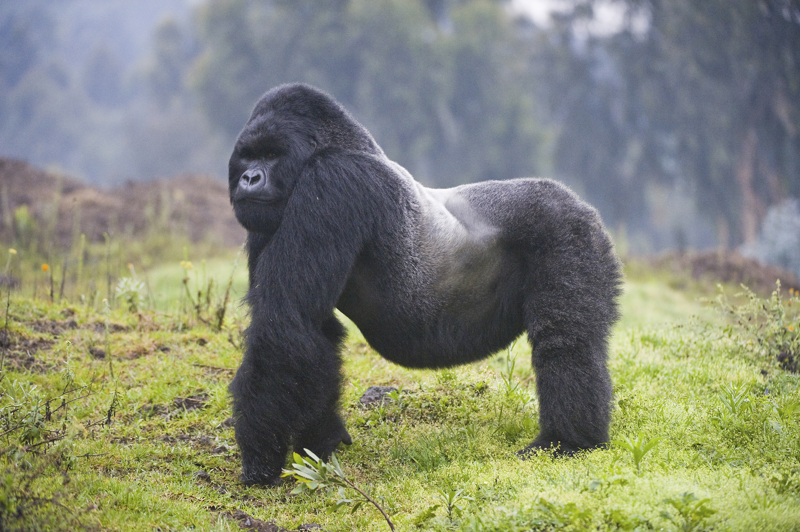 Mountain Gorilla, Rwanda.   About 880 mountain gorillas, who have thicker and more fur than other great apes, live in forests high in the mountains in the Congo Basin. They are threatened by civil conflict, poaching, and an encroaching human population.