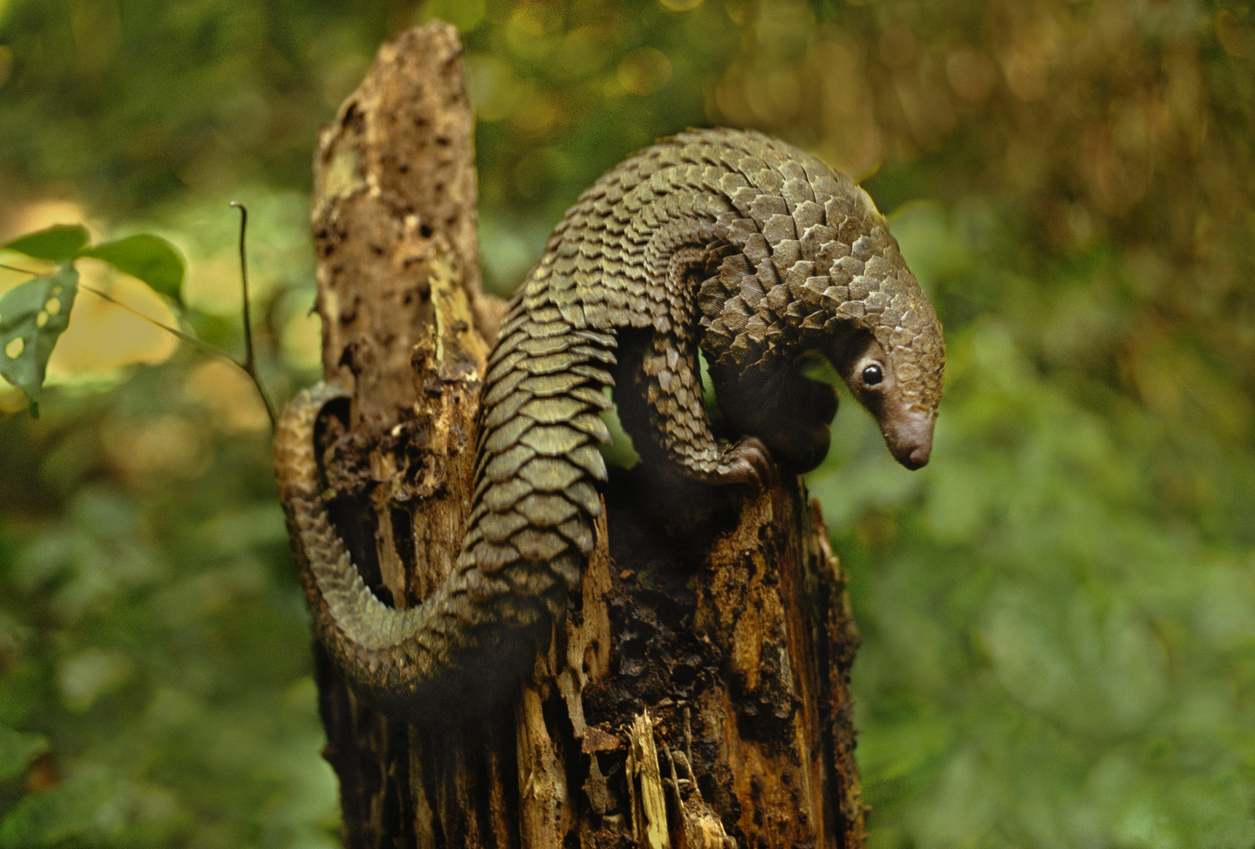Long-tailed Pangolin, D.R. Congo. Also called scaly anteaters, these solitary, primarily nocturnal animals  are native to both Africa and Asia. Although all eight species of Pangolin are protected, they are valued for their meat and scales, and are often killed and sold illegally. They could possibly be the most trafficked mammal in the world.