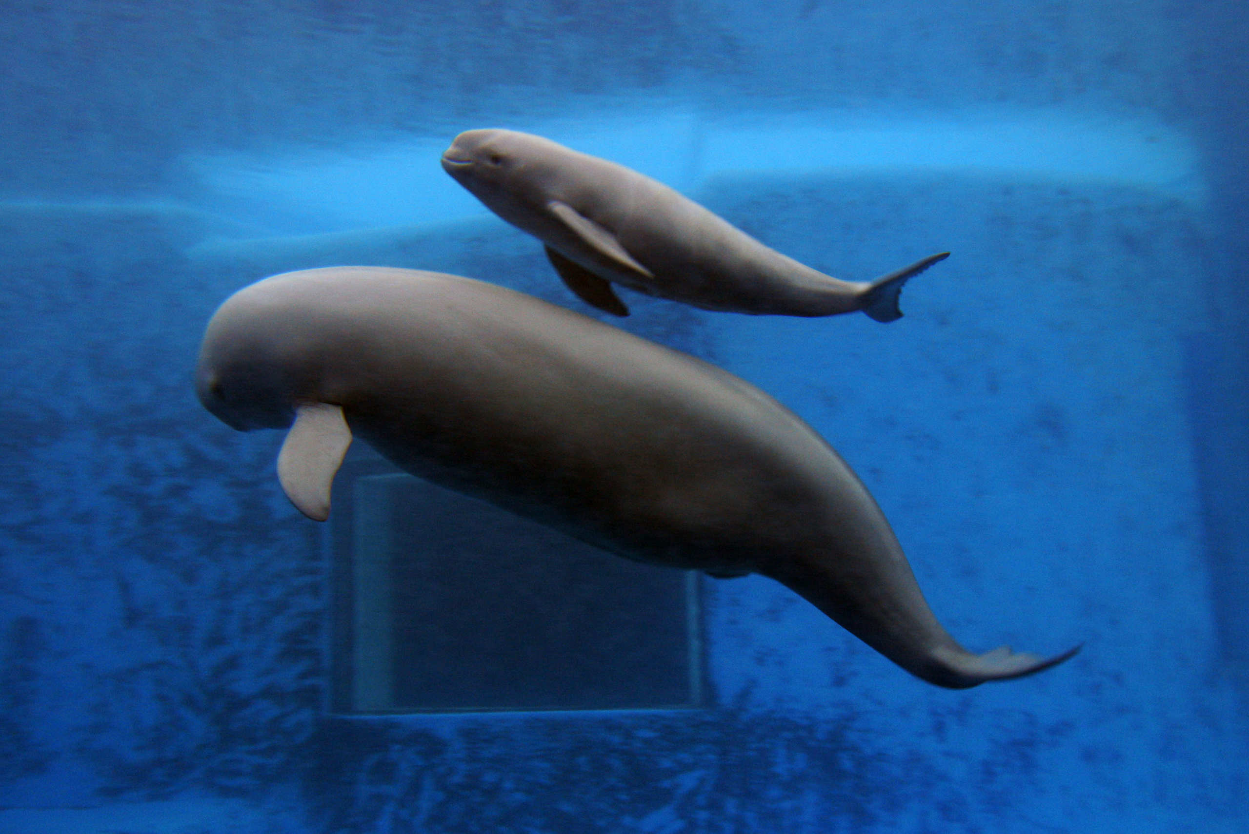 A newly born Yangtze Finless Porpoise swims with his mother at the Hydrobiology Institute of the Chinese Academy of Sciences in Wuhan of Hubei Province, China, June 3, 2007. The Yangtze finless porpoise is the only porpoise in the world that lives in freshwater and has a level of intelligence comparable to a gorilla. Due to overfishing of their food supply, pollution, and ship movement, there are only about 1500 of them left in the wild.