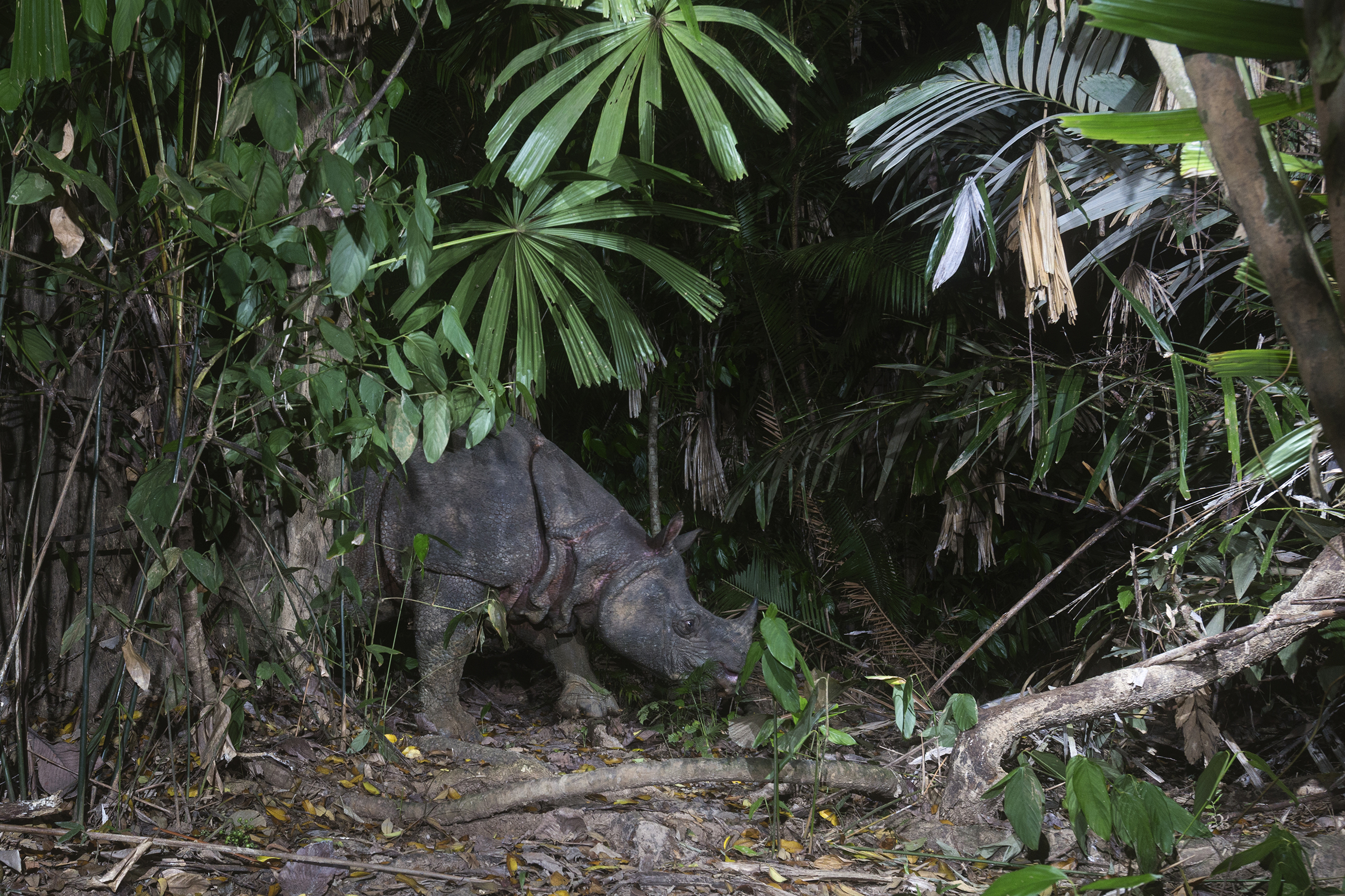 Javan Rhinoceros, Ujung Kulon National Park, Indonesia. After a subspecies in Vietnam was wiped out due to poaching, the entire population, about 60 individuals, of these animals can be found in one Indonesian park.  Because of their low numbers, they are especially vulnerable to natural disasters, disease, and inbreeding.