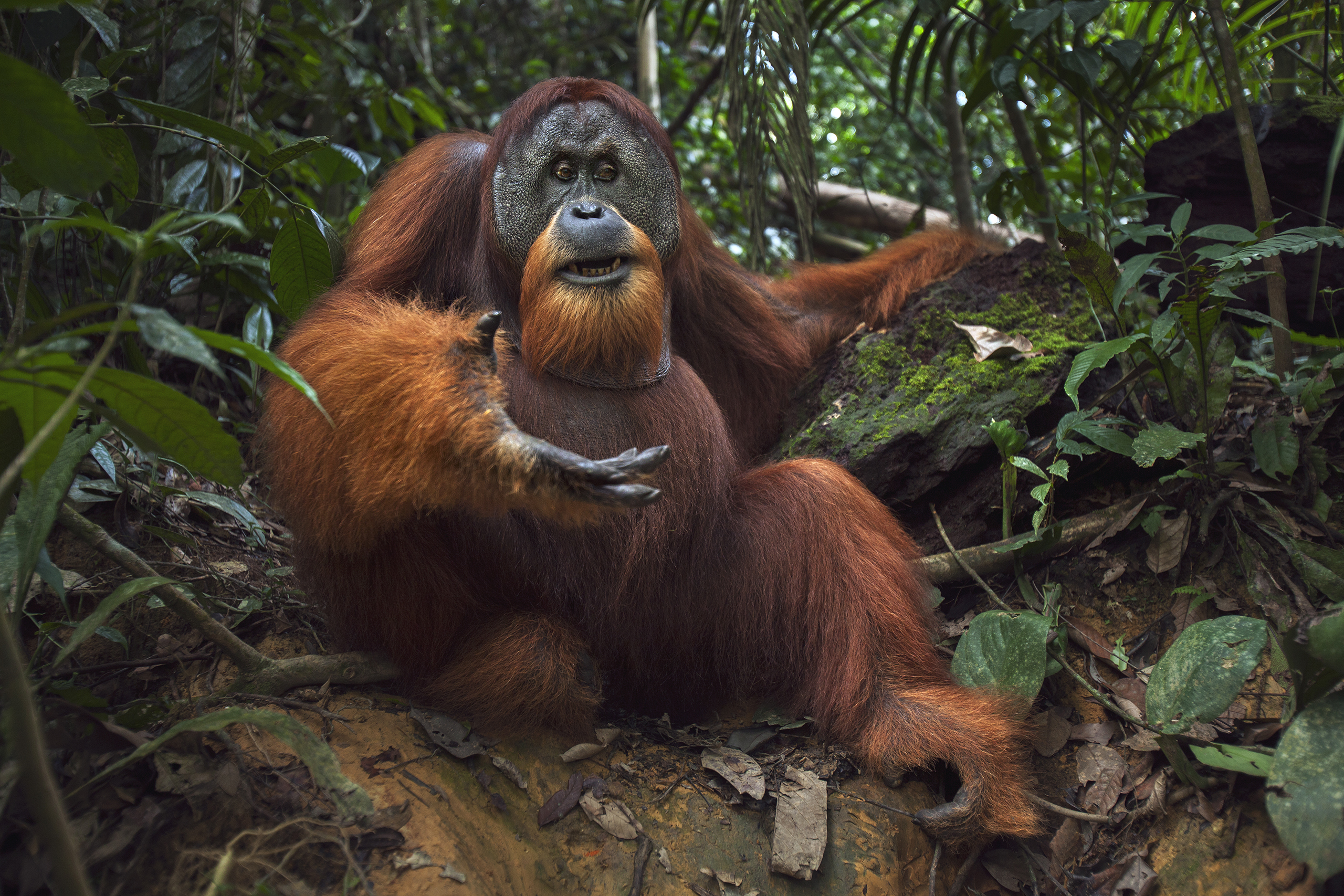 Sumatran Orangutan, Gunung Leuser National Park, Indonesia. The approximately 7,300 remaining Sumatran orangutans live almost entirely in the treetops of tropical rain forests, only rarely traveling on the ground. As these forests are converted into oil palm plantations or burned to clear land, the orangutans are forced into an ever smaller livable habitat.