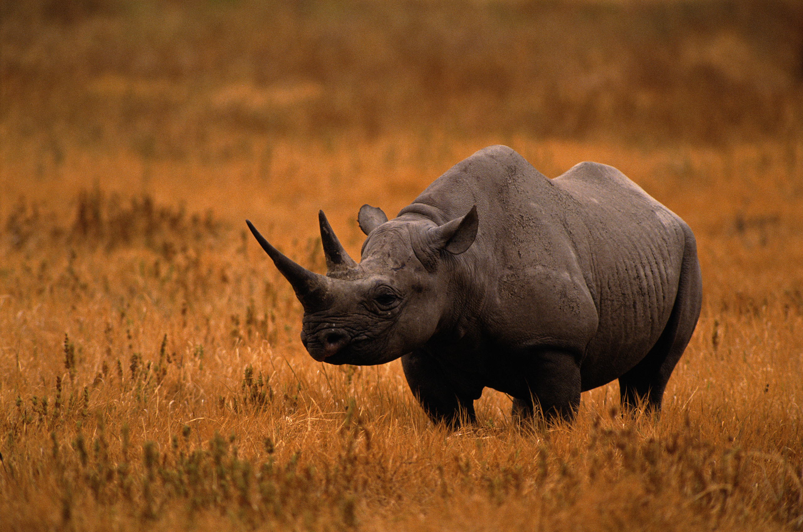 Black Rhinoceros, Tanzania. Rhinos are one of the oldest groups of mammals on the planet. Because of demand for rhino horn in Asia, between 1970 and 1992, 96% of Africa's remaining black rhinos were killed. Today, there are about 5,000 black rhinos left.
