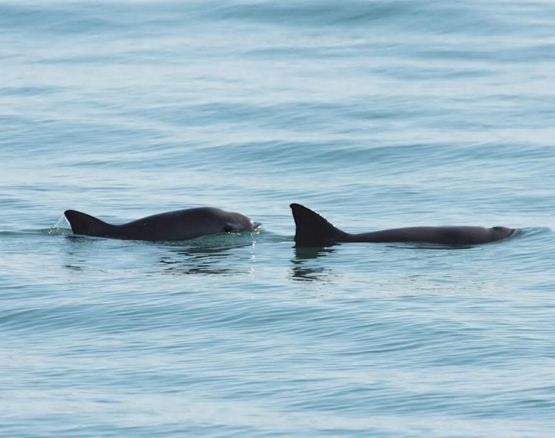 Vaquita, Northern Gulf of California. Vaquitas, a small species of porpoise, are the world's most rare marine mammal - there are thought to be under 100 individuals remaining. Nearly 1 out of every 5 vaquita are killed by gillnets used for illegally fishing another endangered sea creature, the totoaba, which is valued for its swim bladder.