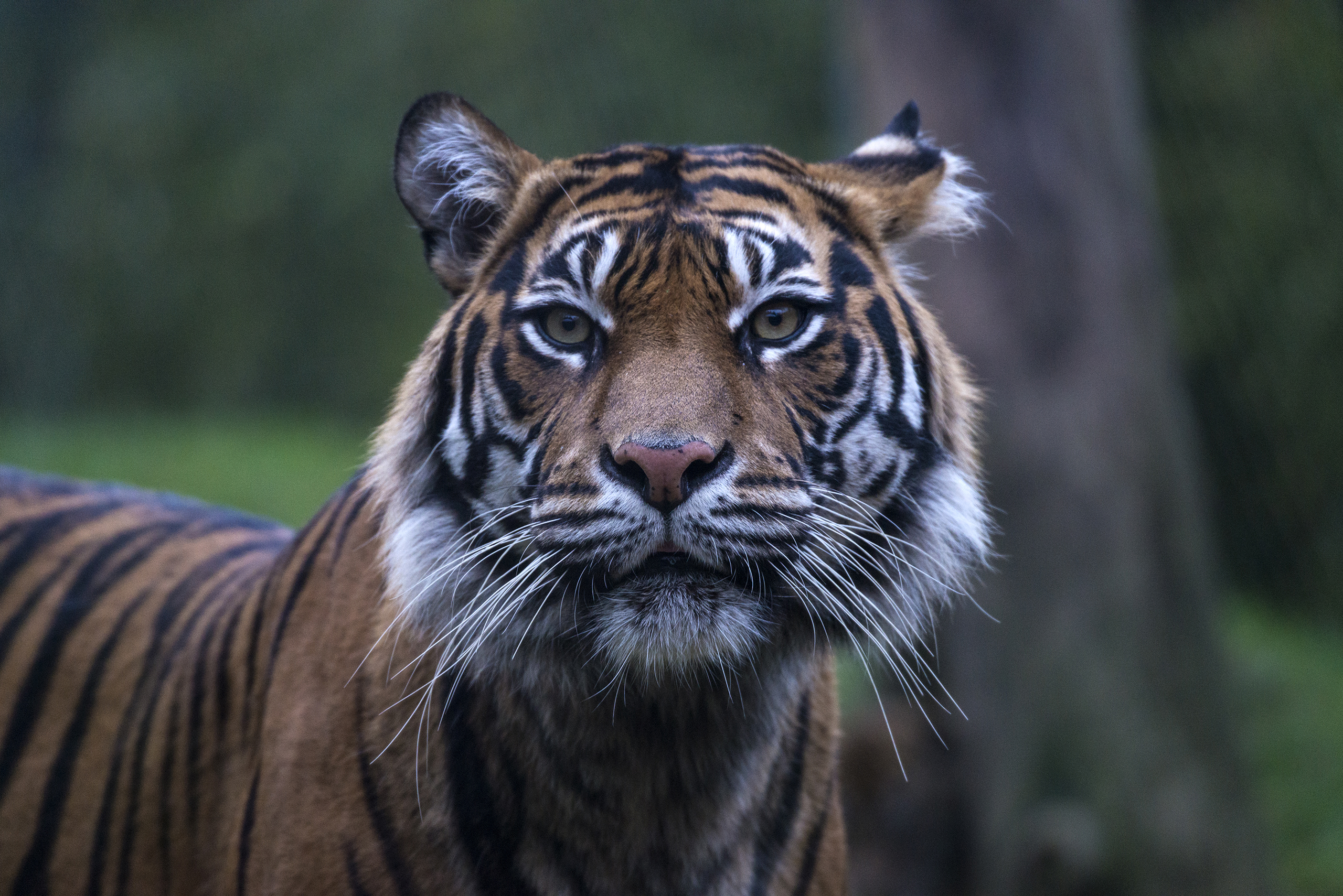 Sumatran Tiger, Sumatra, Indonesia. These tigers are distinguished by heavy black stripes on their orange coats. Poaching is the biggest threat to these big cats, of which only about 400 remain.