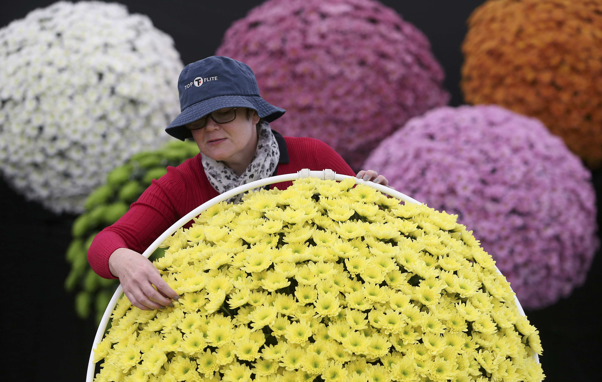 A woman adjusts display of chrysanthemums during preparations for the RHS Chelsea Flower Show in London, May 21, 2016.