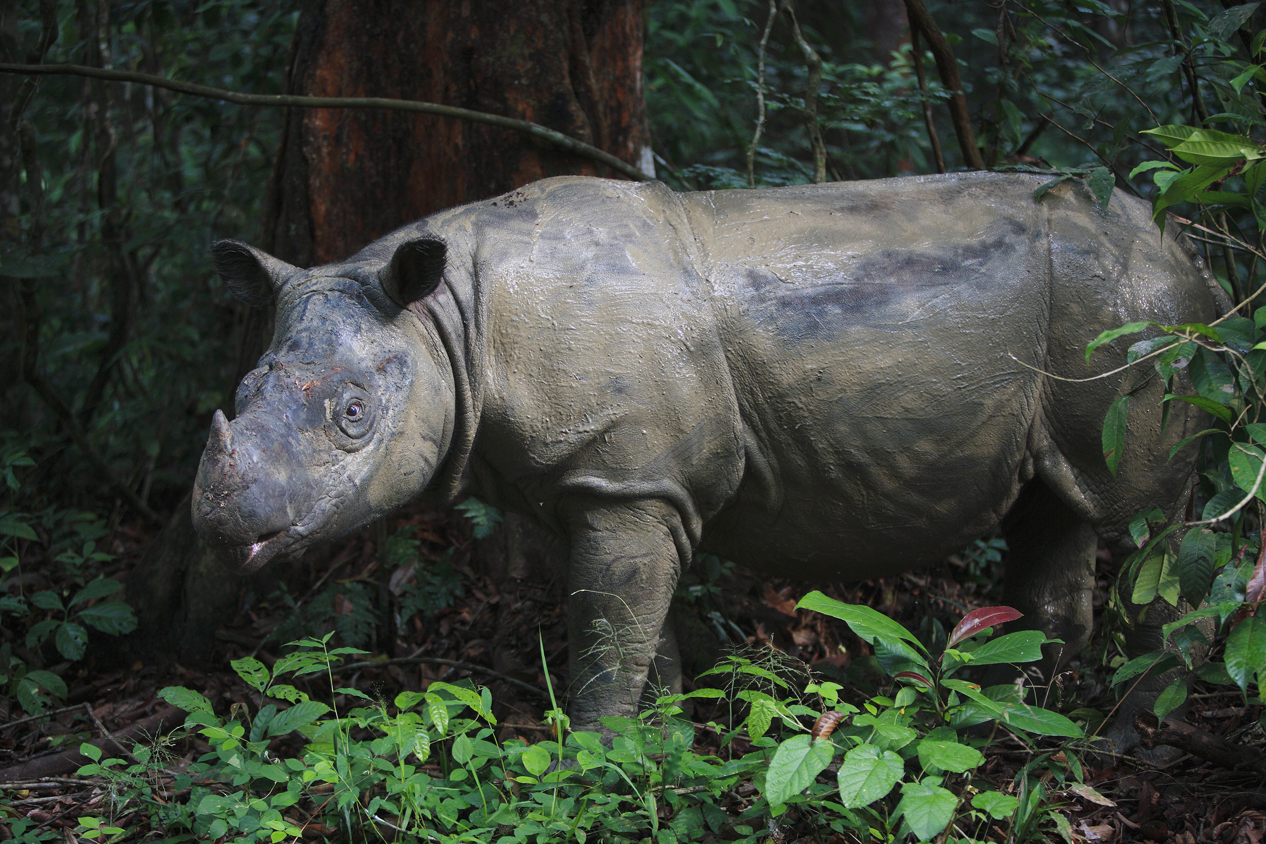 Sumatran Rhinoceros,  Way Kambas National Park, Sumatra, Indonesia. These rhinos are the smallest living rhinoceroses and the only Asian rhino with two horns.  Around 250 of these rhinos share a habitat with the, also endangered, Javan rhinoceros. Their biggest threat comes from poaching for their horns.