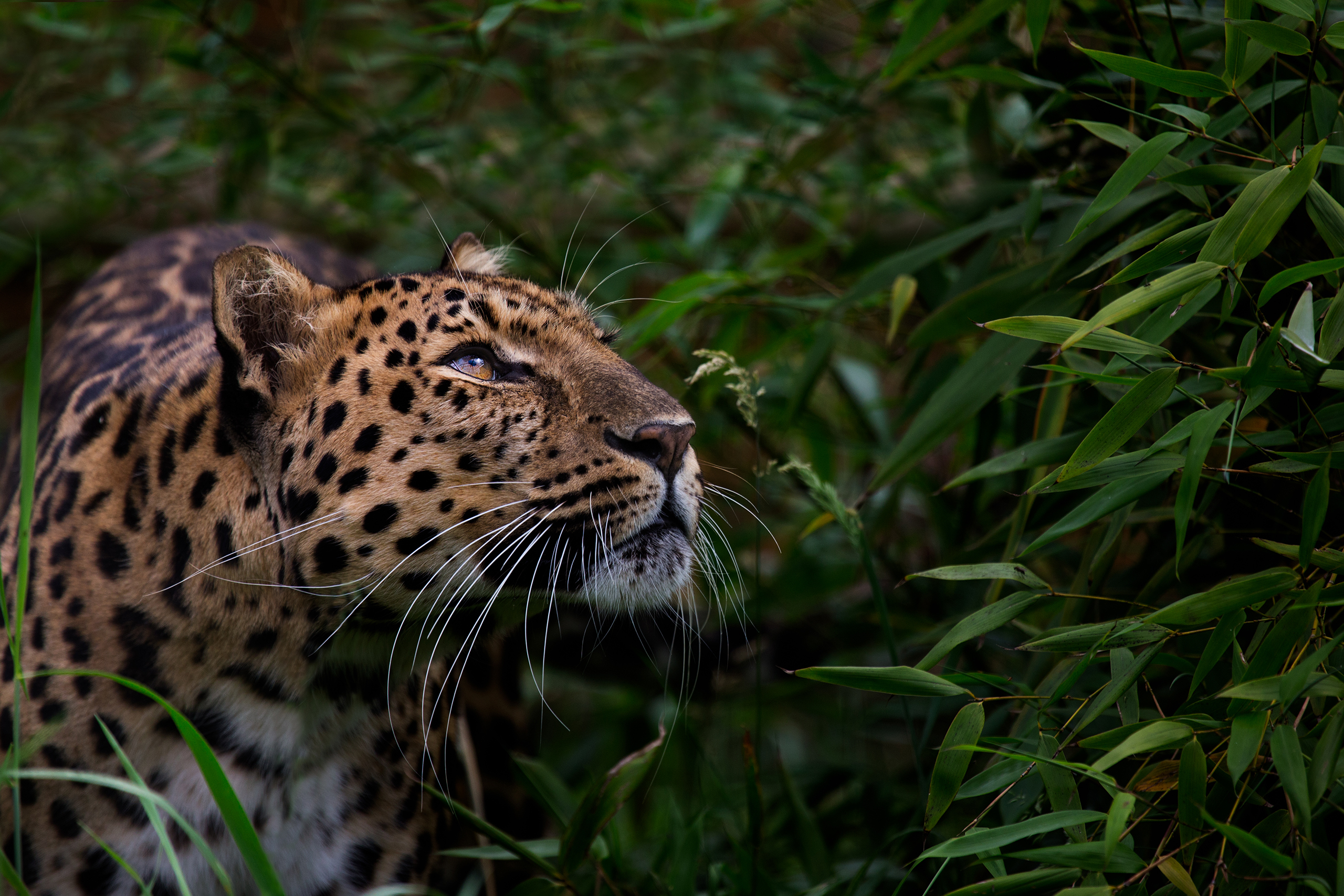 Amur Leopard, Russian Far East. A rare subspecies of leopard that has adapted to life in the temperate forests of northern Russia and China. They can run at speeds up to 37 mph and jump up to 10 ft. vertically. Due to poaching for its fur, only 60 individuals remain.