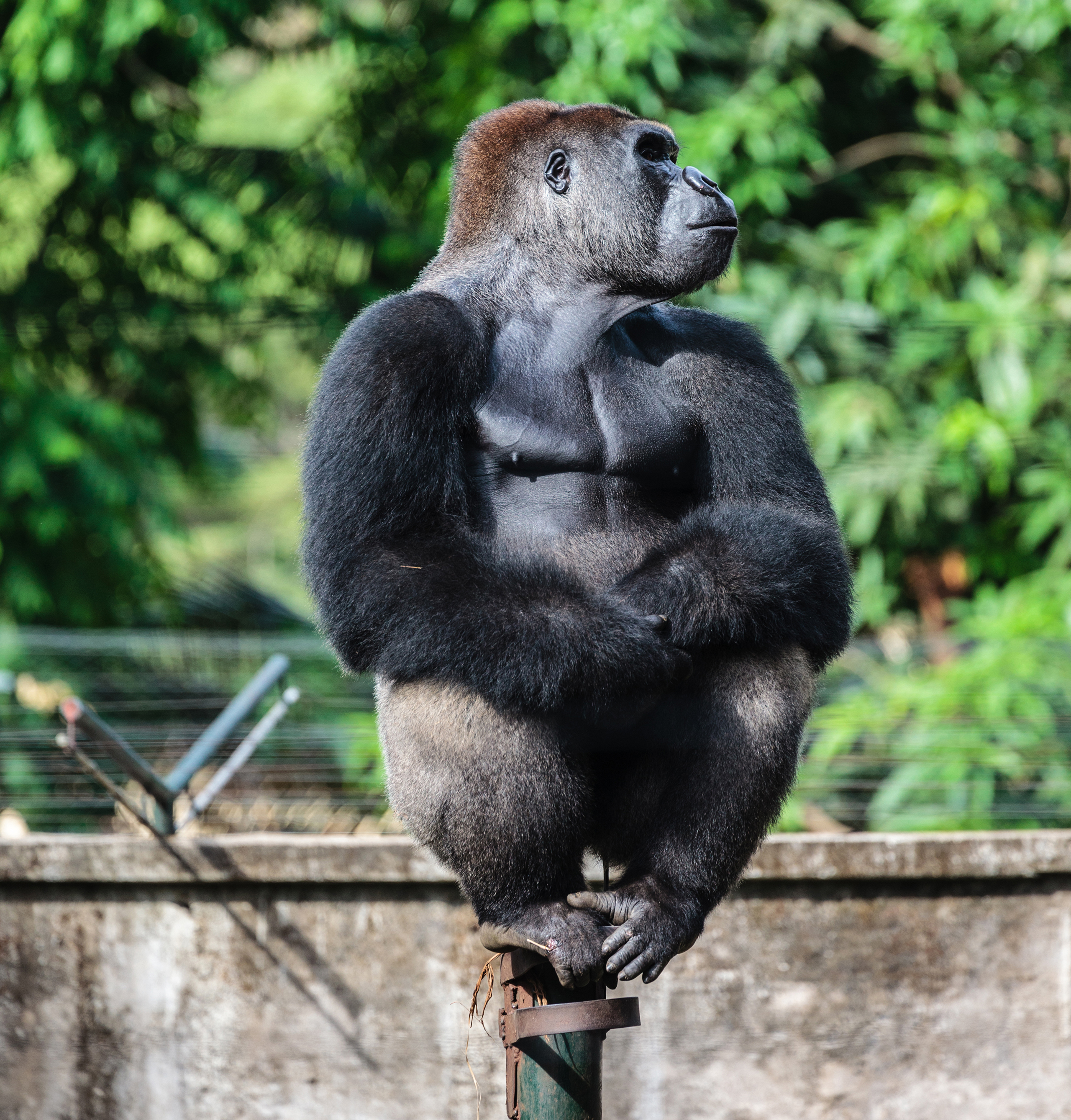 Cross River Gorilla Limbe Wildlife Center, Cameroon. Around 200 individuals of this subspecies of western gorilla live in the rugged territory between Cameroon and Nigeria.  They are at risk for hunting, as enforcement of wildlife laws in these areas is often lax.