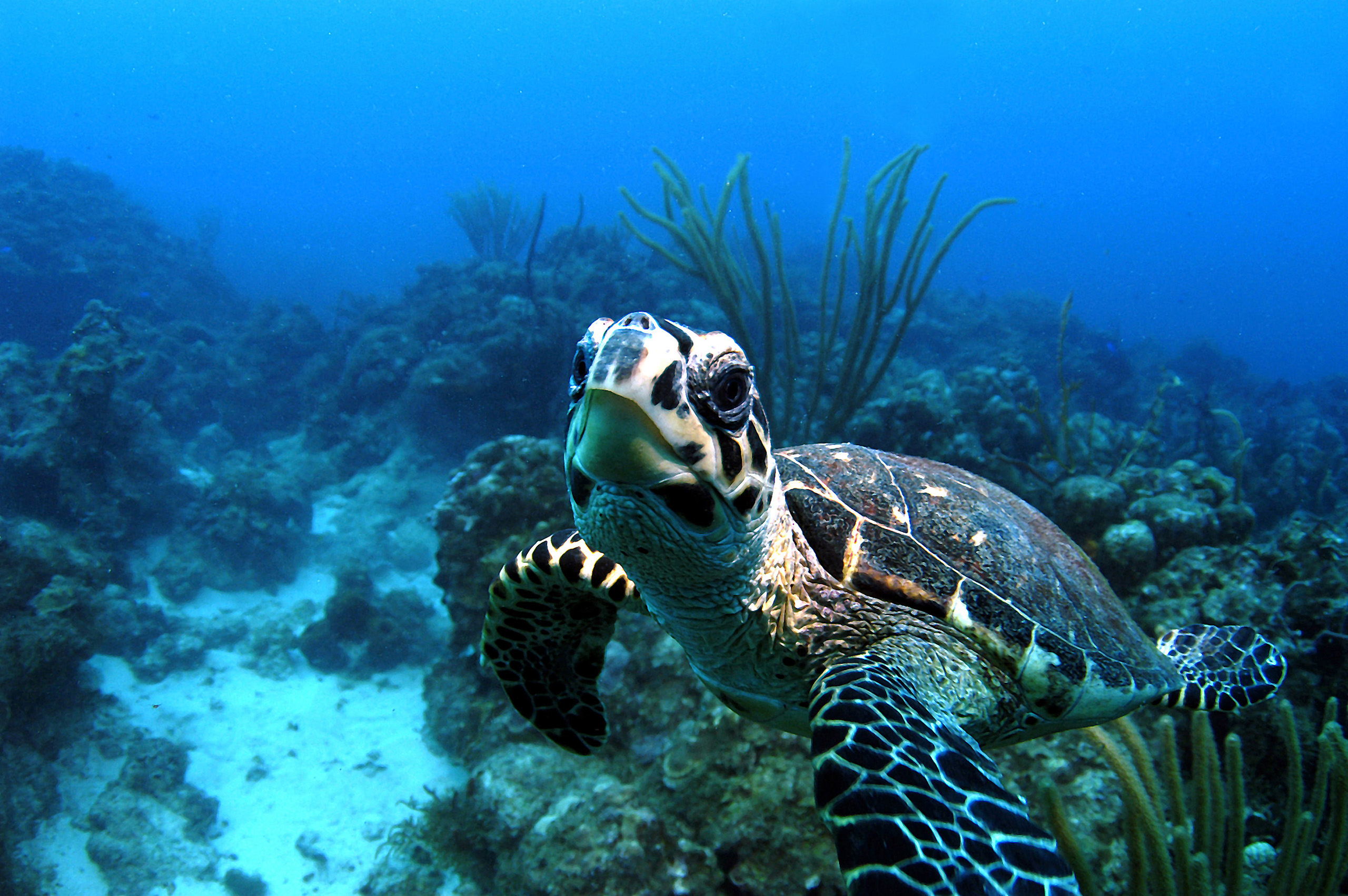 Hawksbill turtle, British Virgin Islands. These turtles are found throughout the world's tropical oceans, where they feed on sponges that live in crevices in coral reefs. They are most threatened by the illegal trading of their shells, which are used to make jewelry and other ornaments.