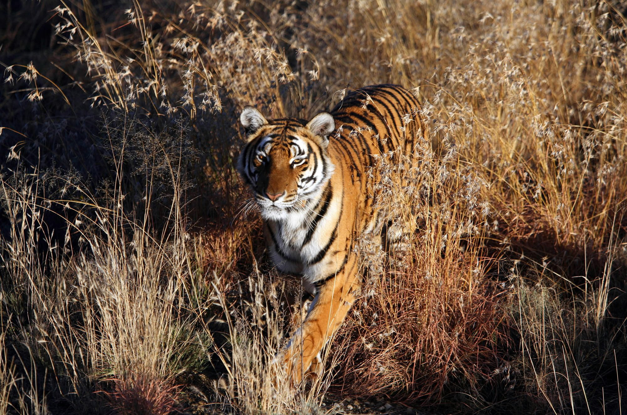 South China Tiger, Laohu Valley Reserve in Philippolis, South Africa on June 21, 2006. In the 1950s this species was hunted as a pest and is now considered functionally extinct. However, they can still be found in zoos and in South Africa, where there are plans to reintroduce captive-bred tigers back into the wild, as shown in the image here.