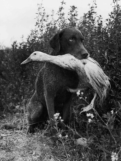Trigger, a Chesapeake Bay retriever, plays a game with Donald, a pet duck, on a family ranch in Yakima, Washington, 1949.