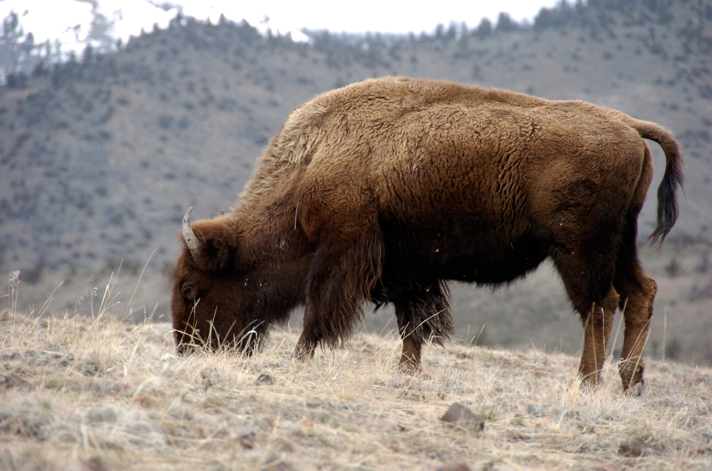 A bison grazes in Yellowstone National Park near Gardiner, Mont., on March 9, 2016.