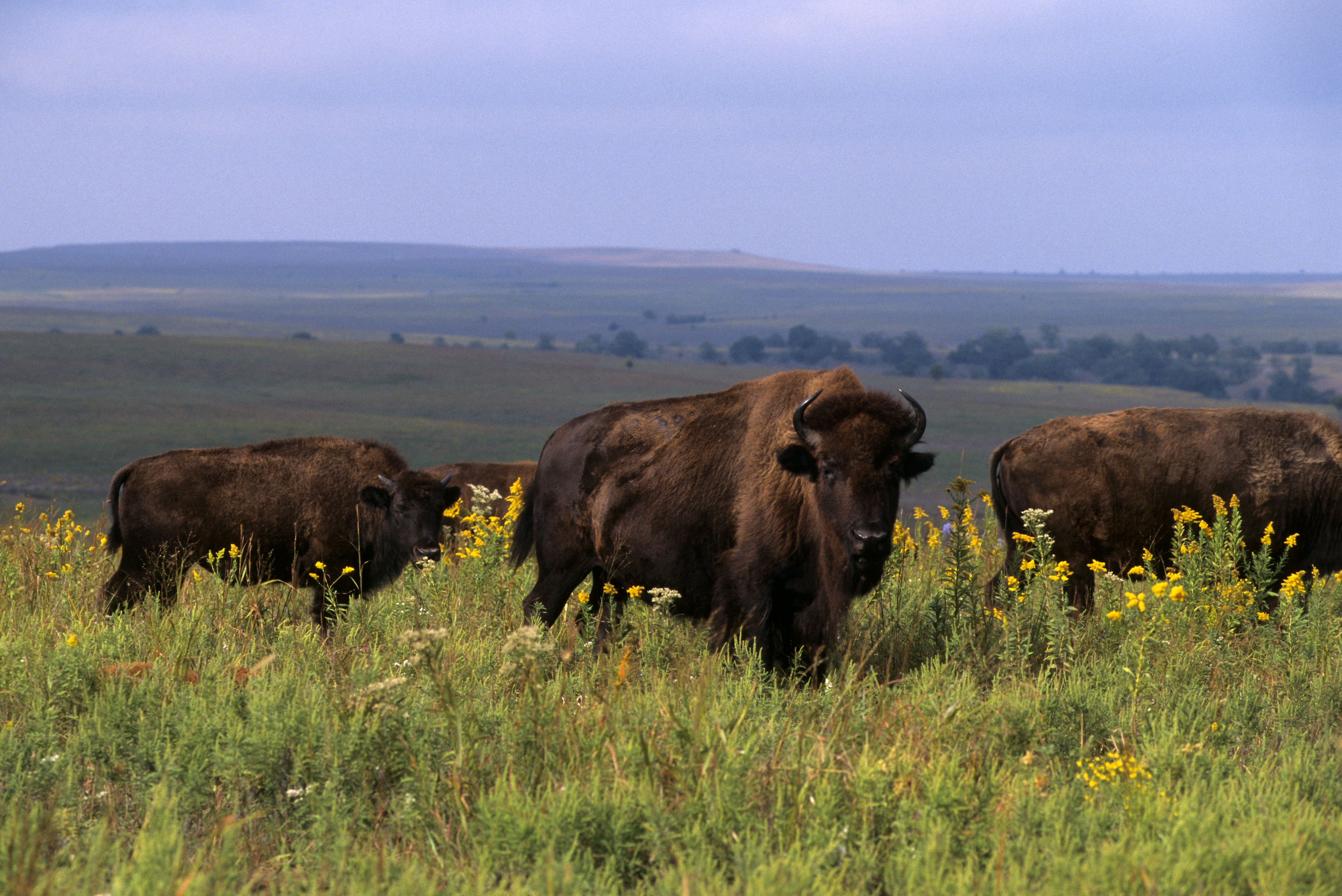 Bison near Pawhuska, Tallgrass Prairie Preserve in Oklahoma.