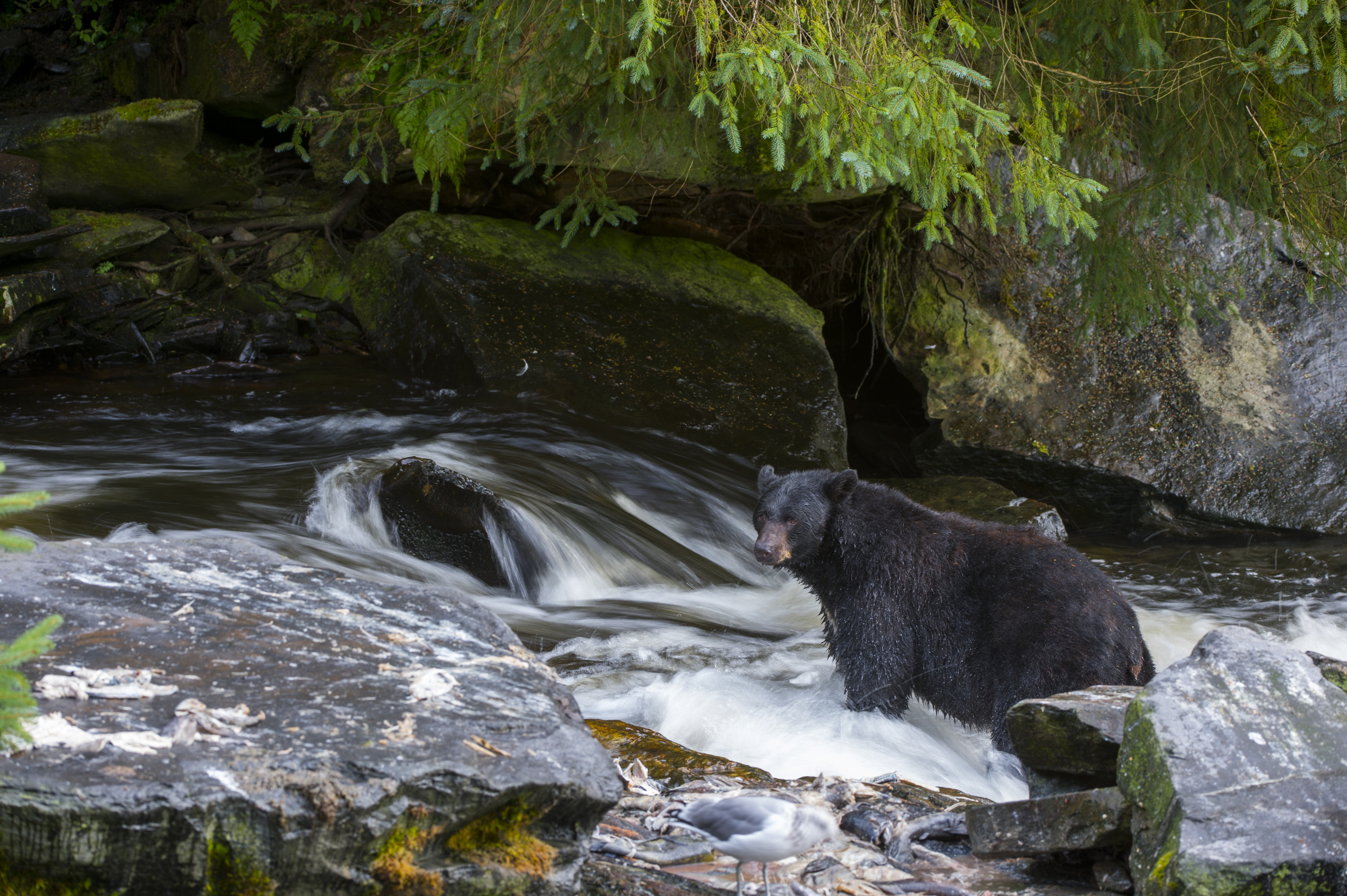 American black bear (Ursus americanus) looking for salmon at creek at Neets Bay fish hatchery, Behm Canal in Southeast Alaska near Ketchikan, USA.