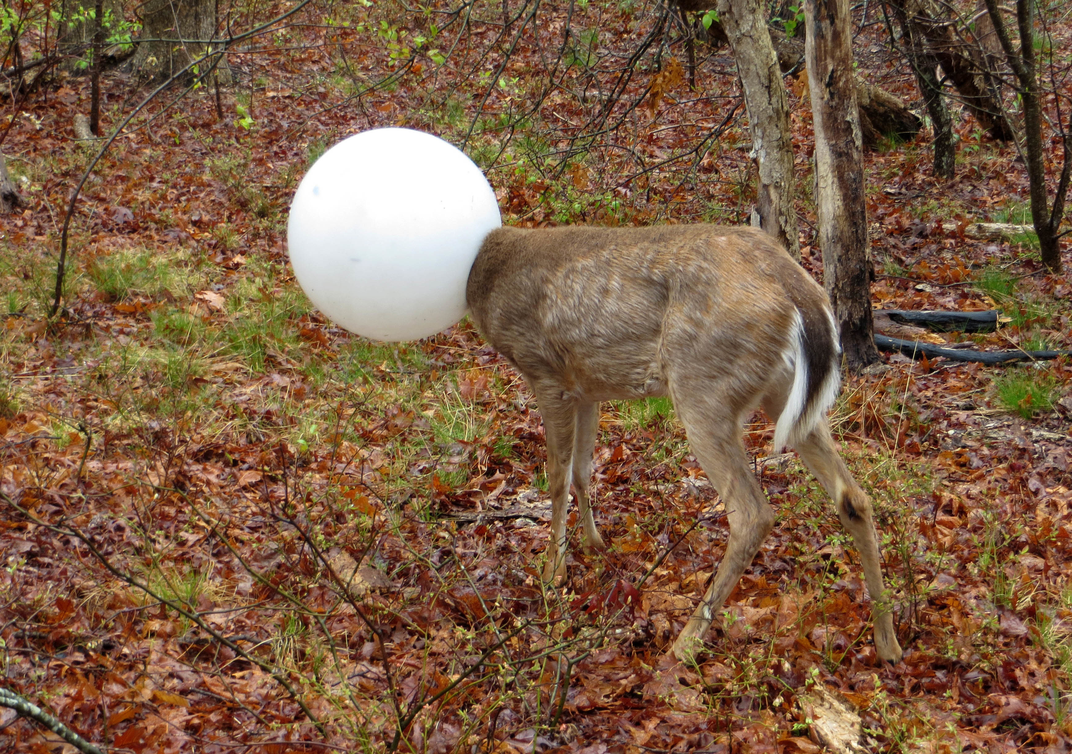 In this May 3, 2016 photo provided by the New York State Department of Environmental Conservation, a deer with its head caught in the globe from a lighting fixture over its head stands in the woods in Centereach, N.Y.