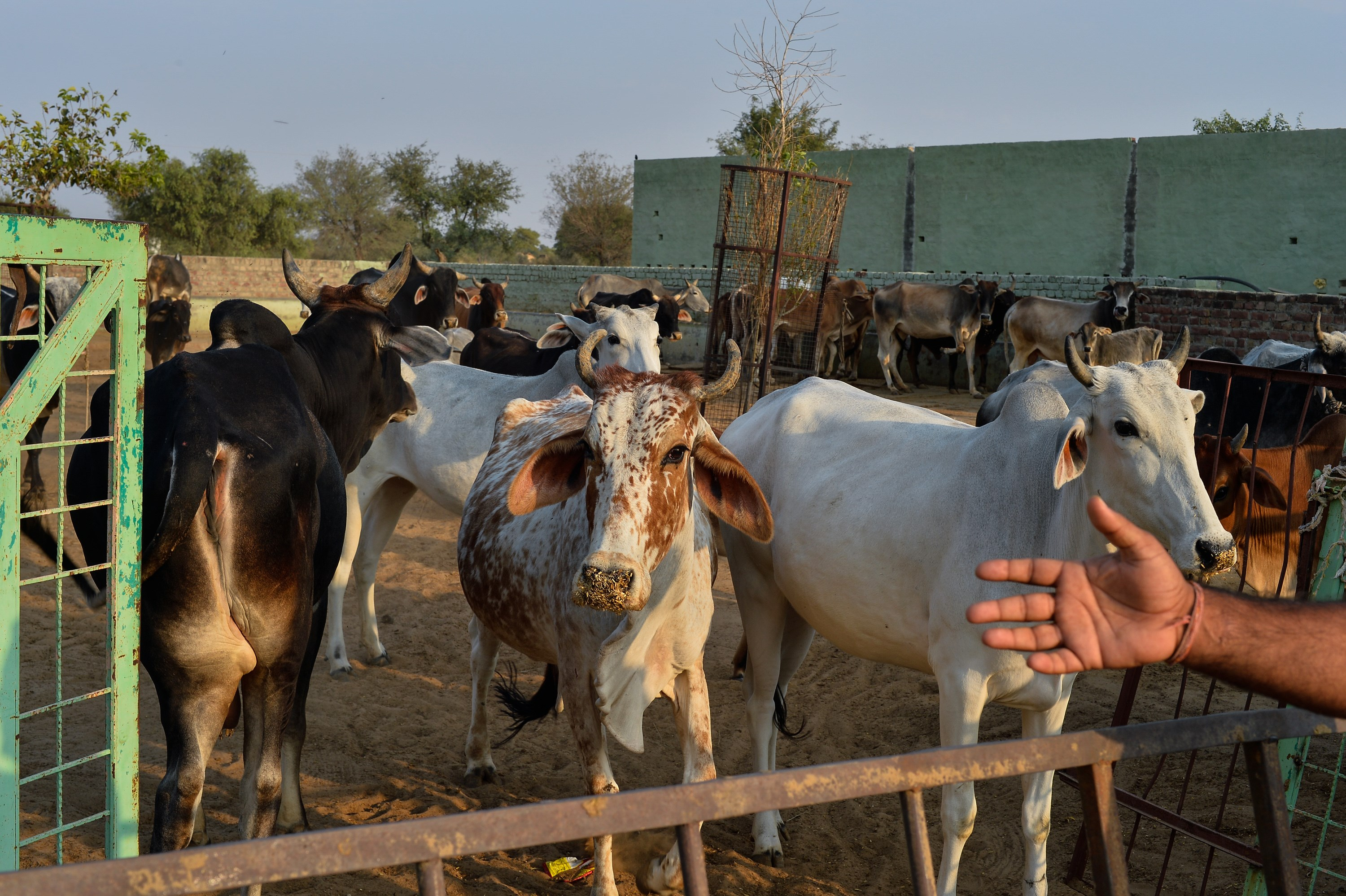 Cows gather at a cow shelter owned by a rustic self-styled leader of cow raiders in Taranagar in the desert state of Rajasthan, on Nov. 5, 2015.