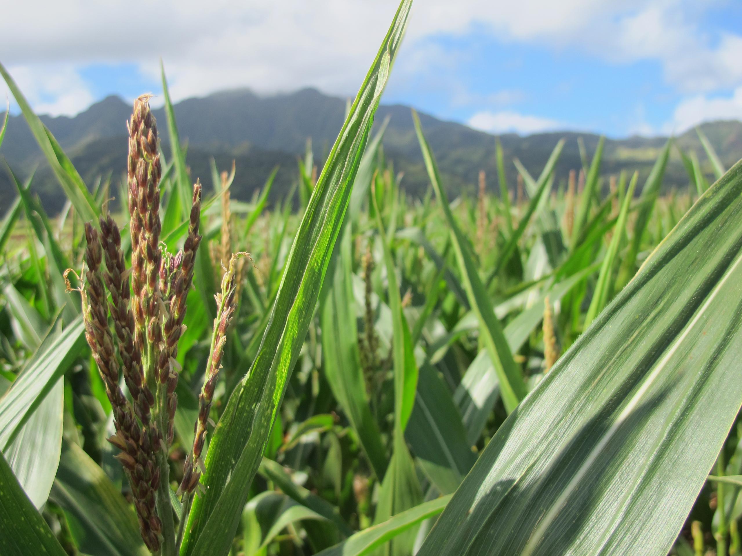 A tassel of corn grows in a field on Pioneer Hi-Bred International land in Waialua, Hawaii, on April 16, 2014.
