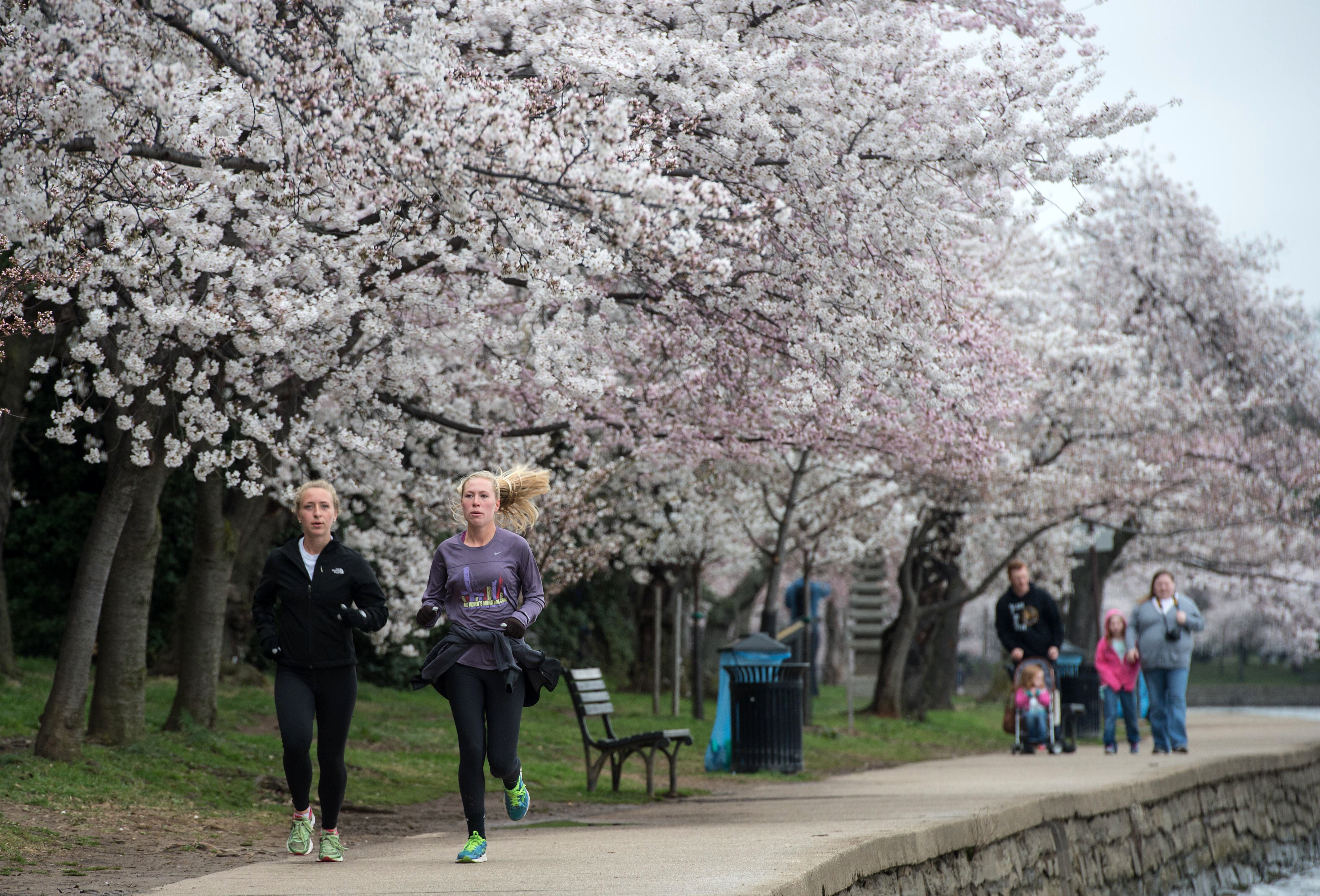 Two women jog under cherry blossoms by the Tidal Basin in Washington on April 8, 2015.