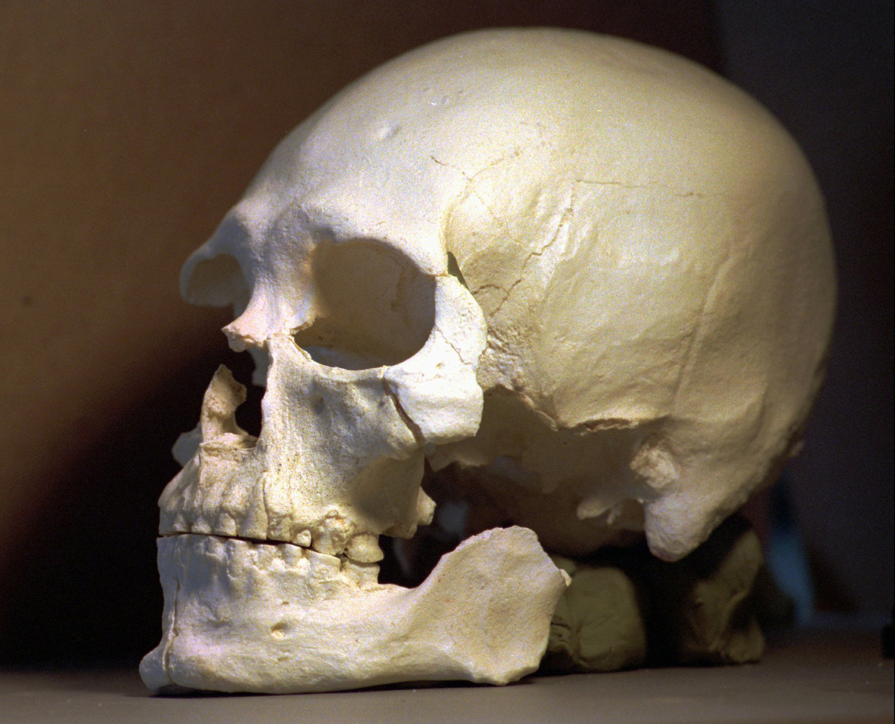 A plastic casting of the skull from the bones known as Kennewick Man, is seen in Richland, Washington, July 24, 1997.